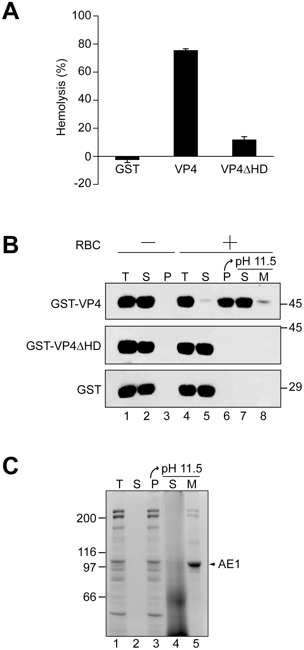 The hydrophobic domain of VP4 is required for its binding and disruption of RBC membranes.