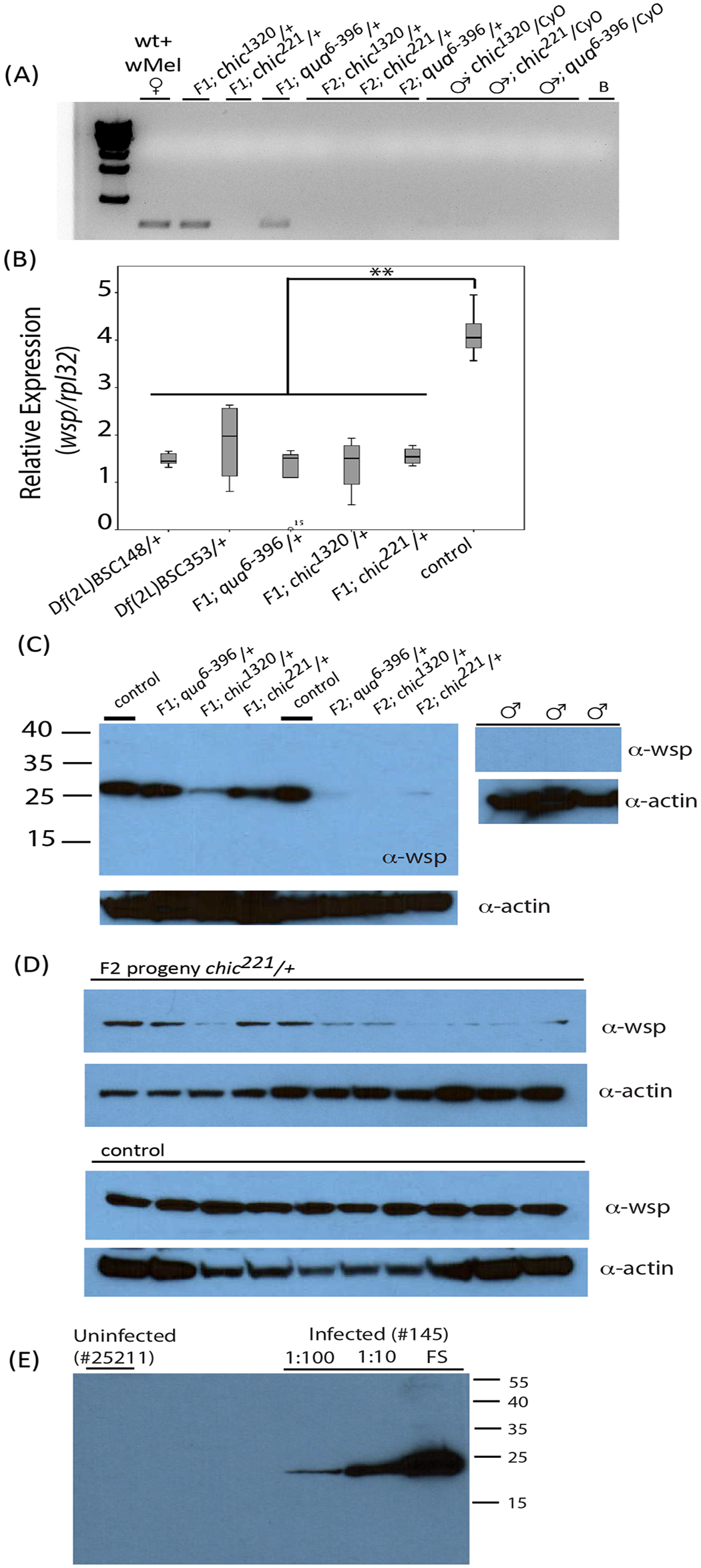 Presence of <i>Wolbachia</i> within various <i>Drosophila melanogaster</i> genotypes and their offspring assessed using polymerase chain reaction (A) and qPCR targeting the <i>wsp</i> gene on individual flies (B) or Western blot using antibodies against Wsp on both pooled fly lysates (C) and individual flies (D).