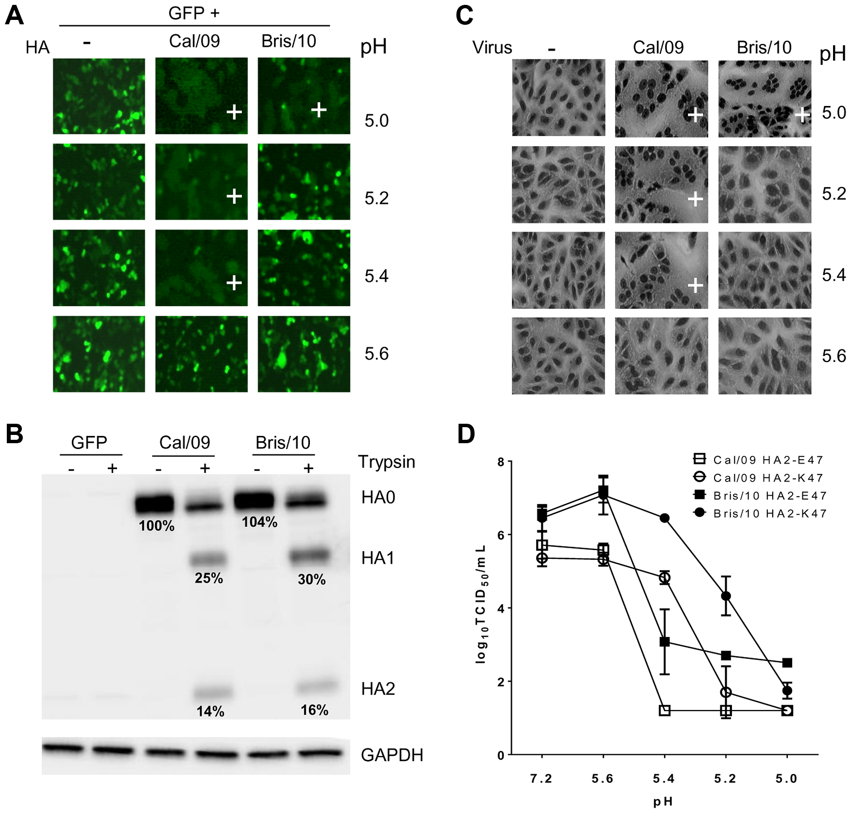 Cal/09 and Bris/10 HA differ in the threshold pH for membrane fusion.
