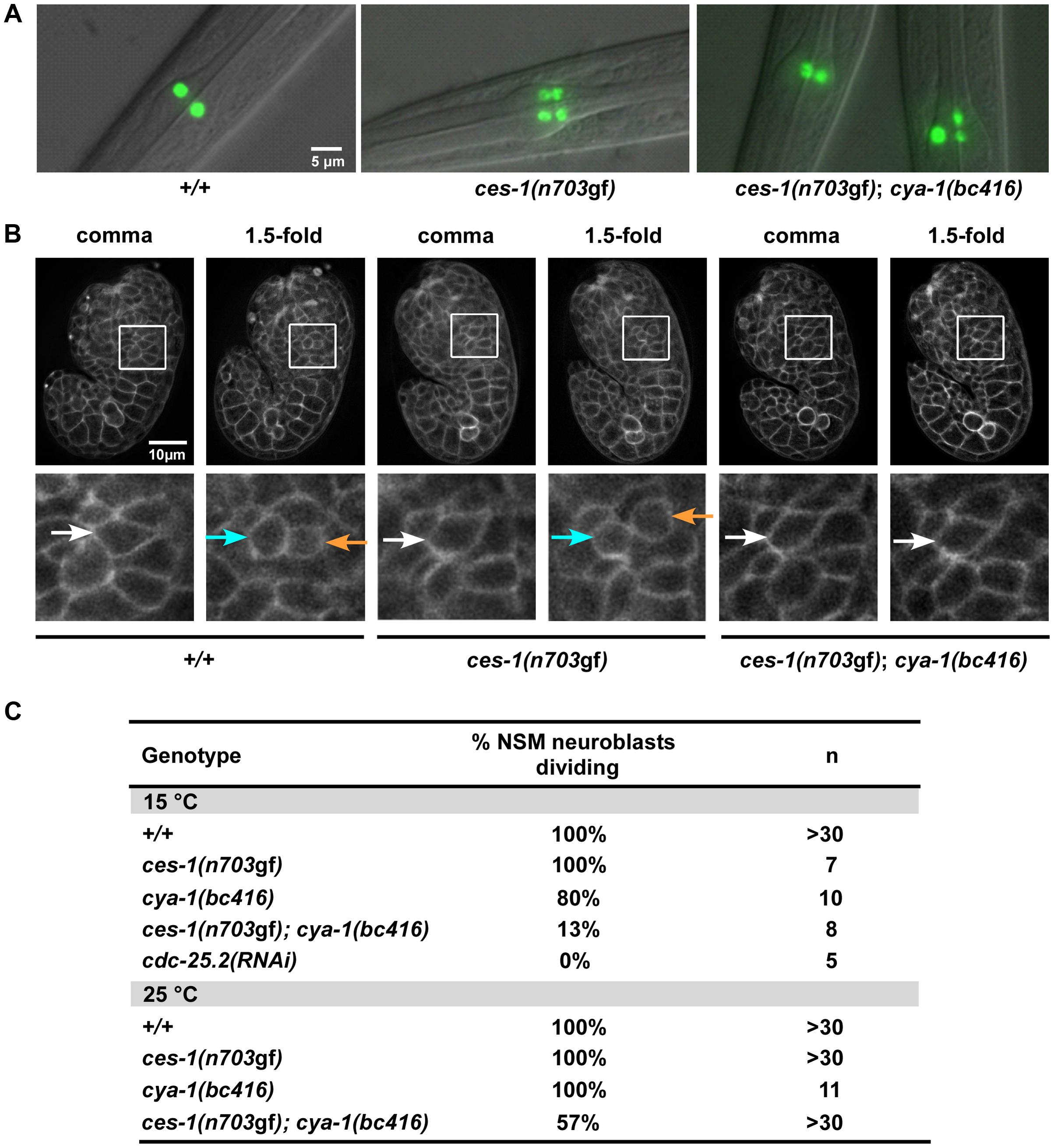 <i>ces-1(n703</i>gf<i>)</i>; <i>cya-1(bc416)</i> affects the division of the NSM neuroblast.