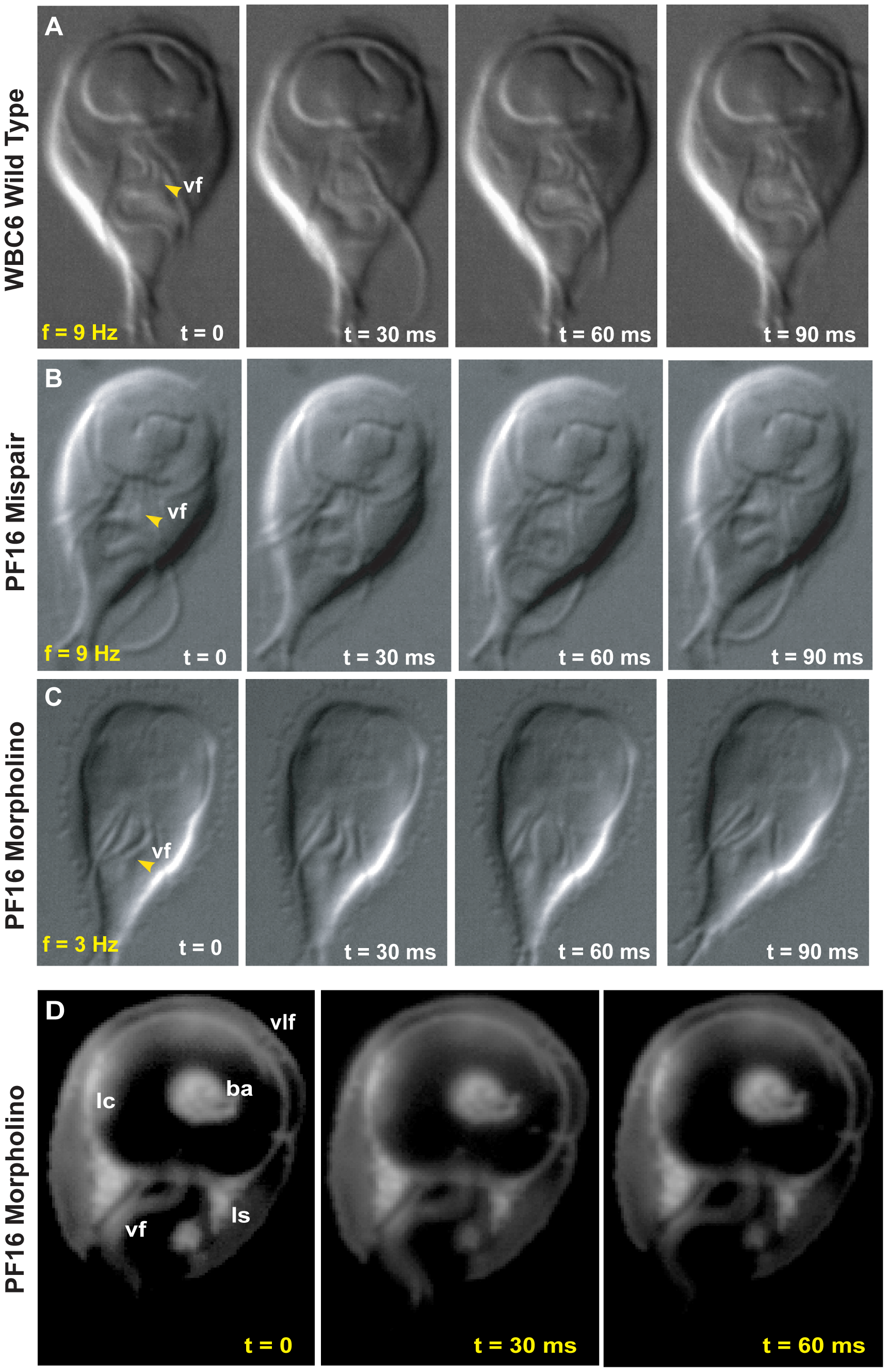 Morpholino knockdown of PF16 significantly reduces flagellar beat frequency but only mildly affects the ability to maintain attachment.