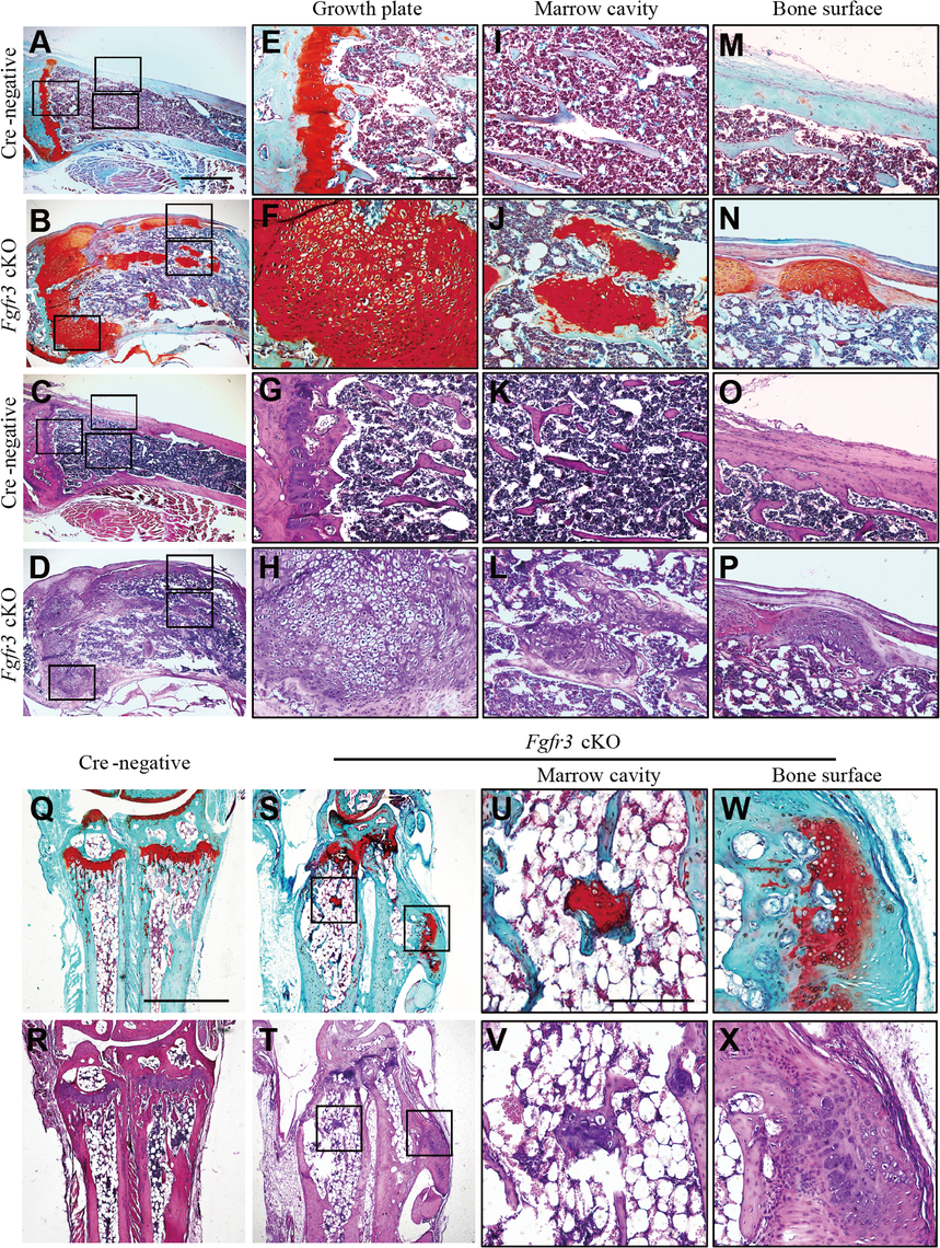 Histological assessment of the knee and wrist in <i>Fgfr3</i> cKO mice.