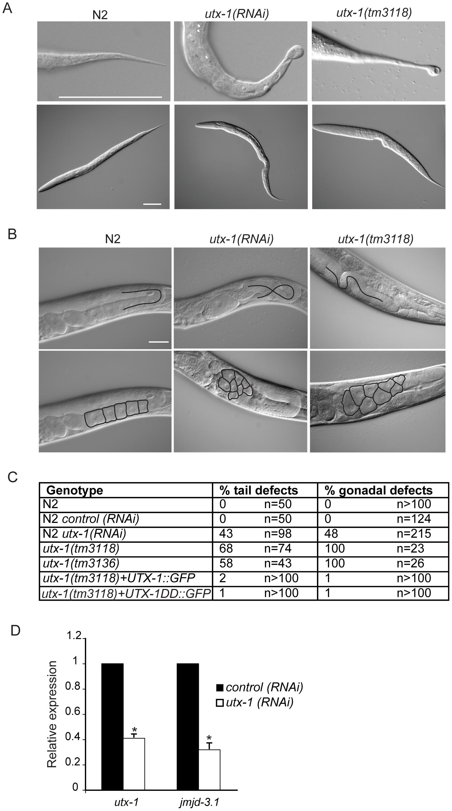 <i>utx-1</i> postembryonic phenotypes.