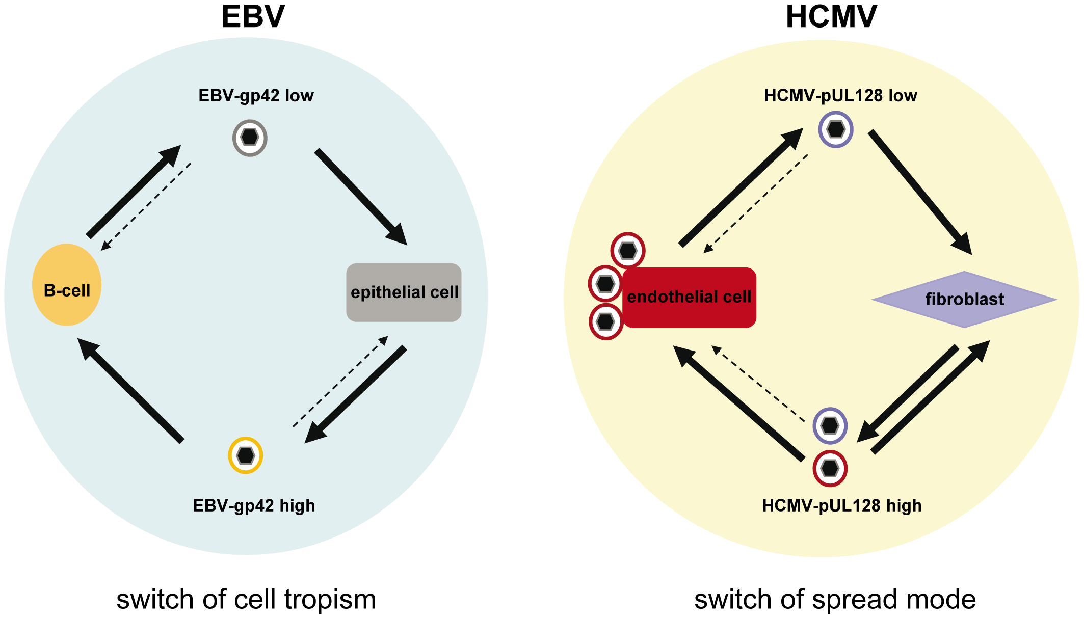 HCMV and EBV models for virus spread in cell culture.