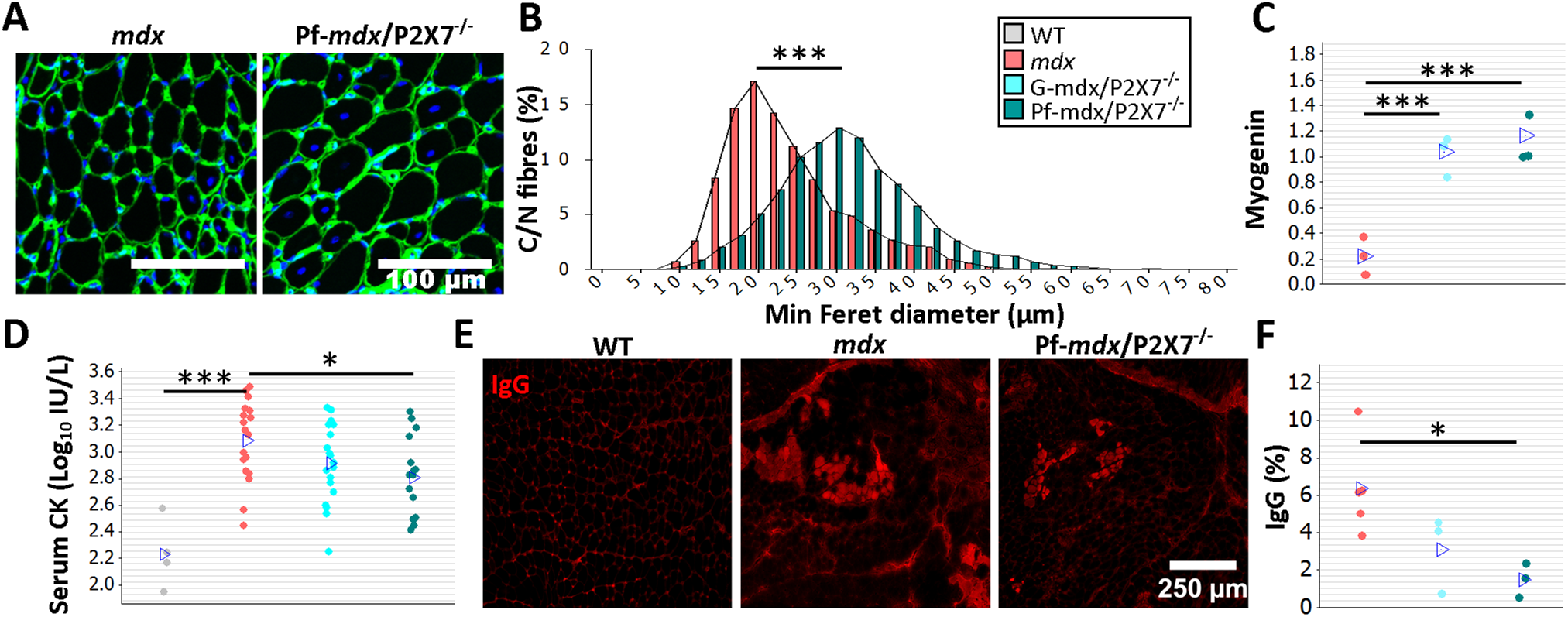 P2RX7 ablation reduces <i>mdx</i> mouse muscle pathology.