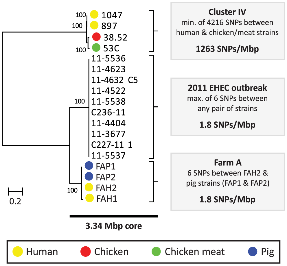 Phylogeny and SNP analysis of closely related ESBL-producing <i>E. coli</i> strains from human and poultry.