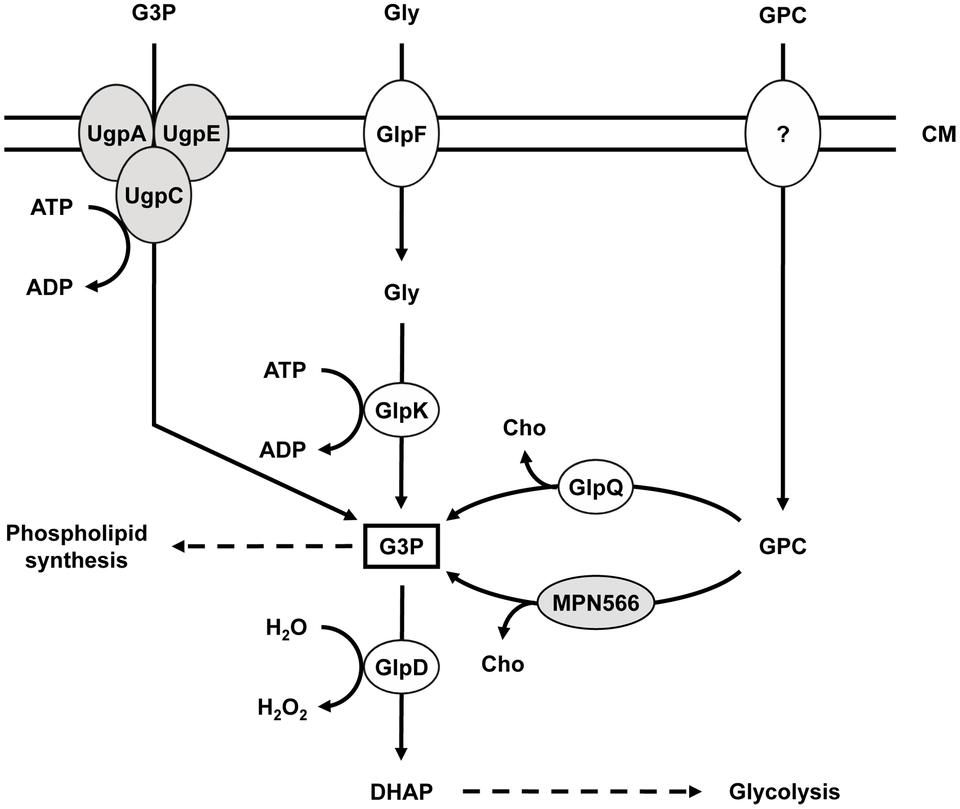 Schematic illustration of the machinery for uptake and conversion of carbohydrates leading to the formation of glycerol-3-phosphate in <i>M. pneumoniae</i>.