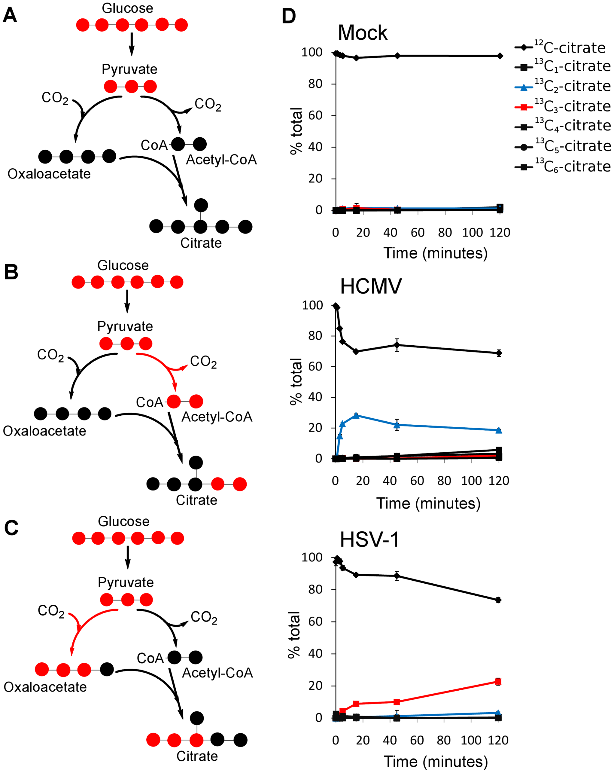 Virus-specific up-regulation of glucose influx to the TCA cycle.
