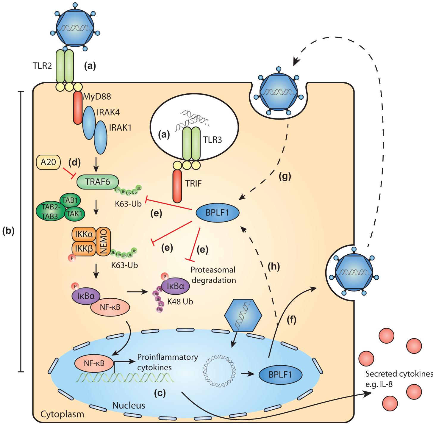 Schematic model of BPLF1-mediated TLR evasion during EBV infection.