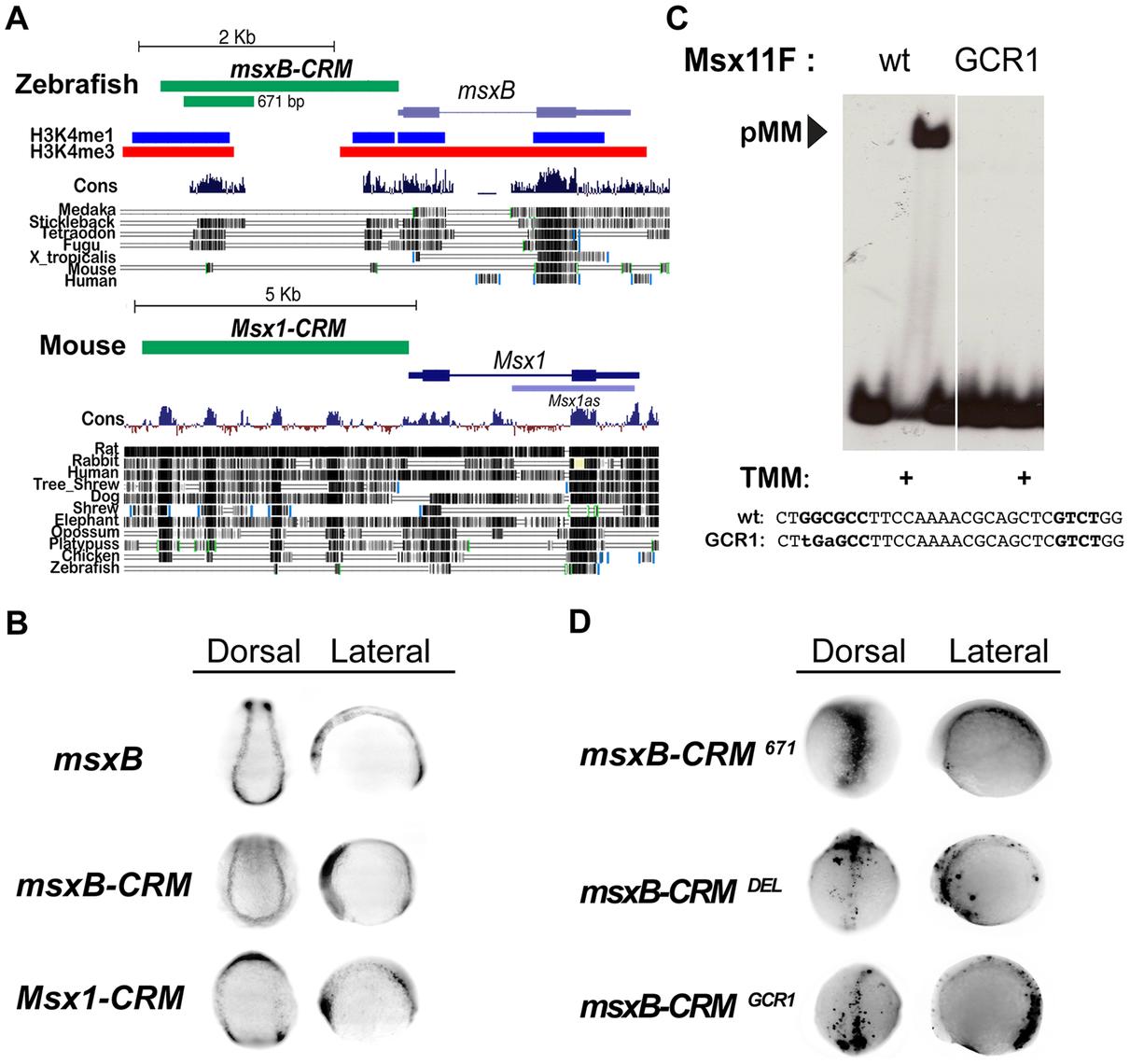 Identification of vertebrate <i>msx</i> CRMs.