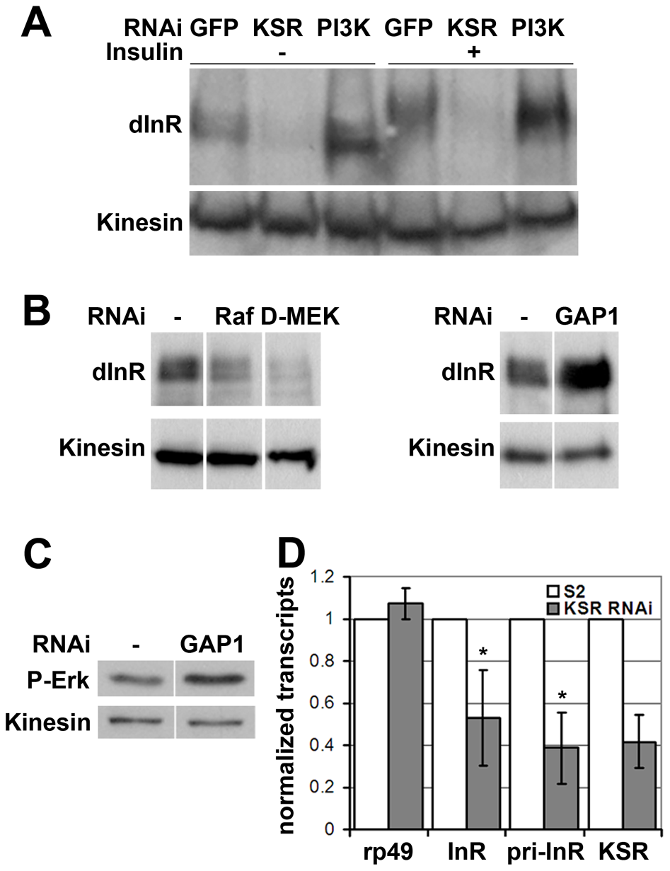 MAPK/ERK signaling regulates <i>inr</i> gene expression.
