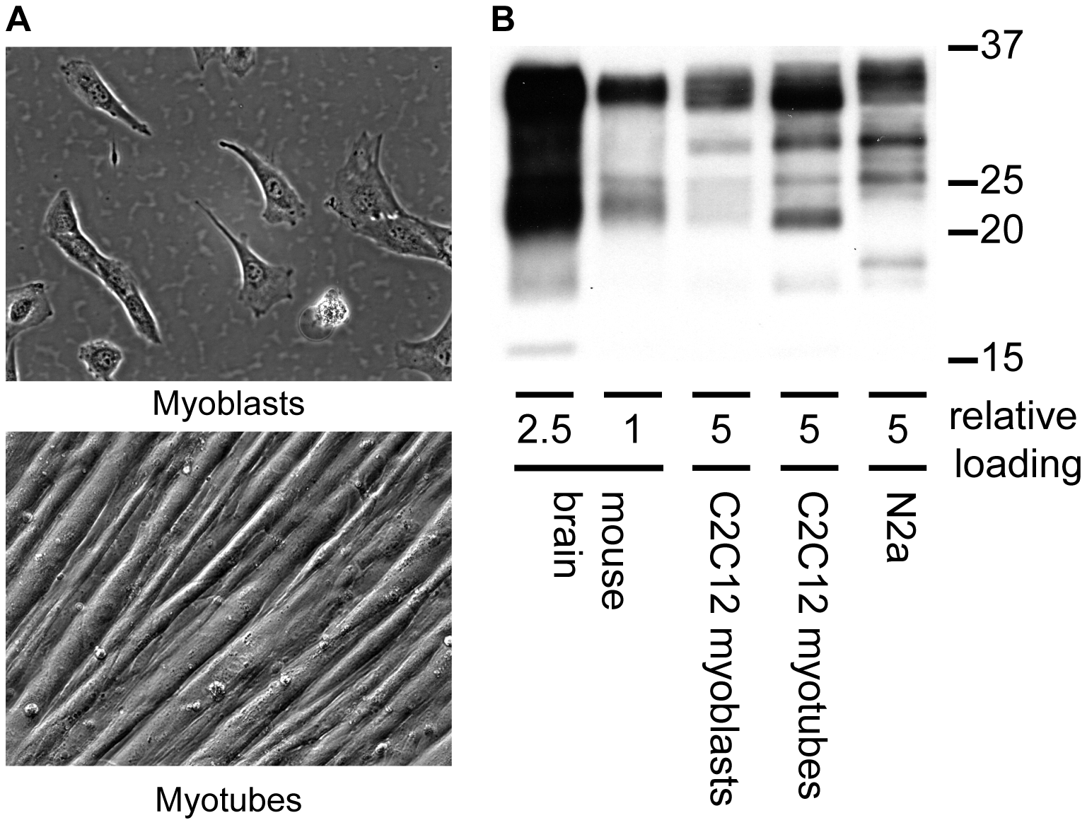 Expression of PrP<sup>c</sup> in C2C12 myoblasts and myotubes.