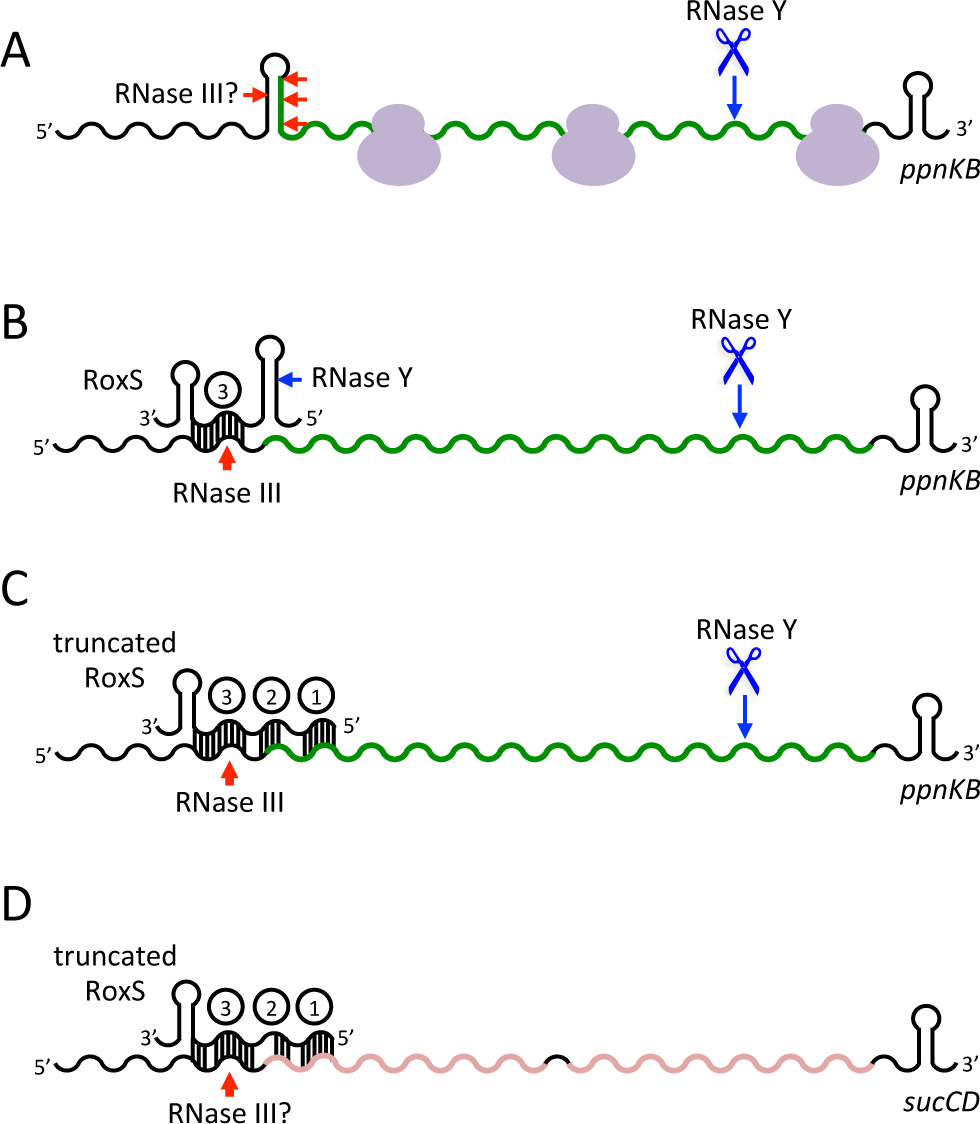 Models of RoxS regulation of the <i>ppnKB</i> and <i>sucCD</i> mRNAs.