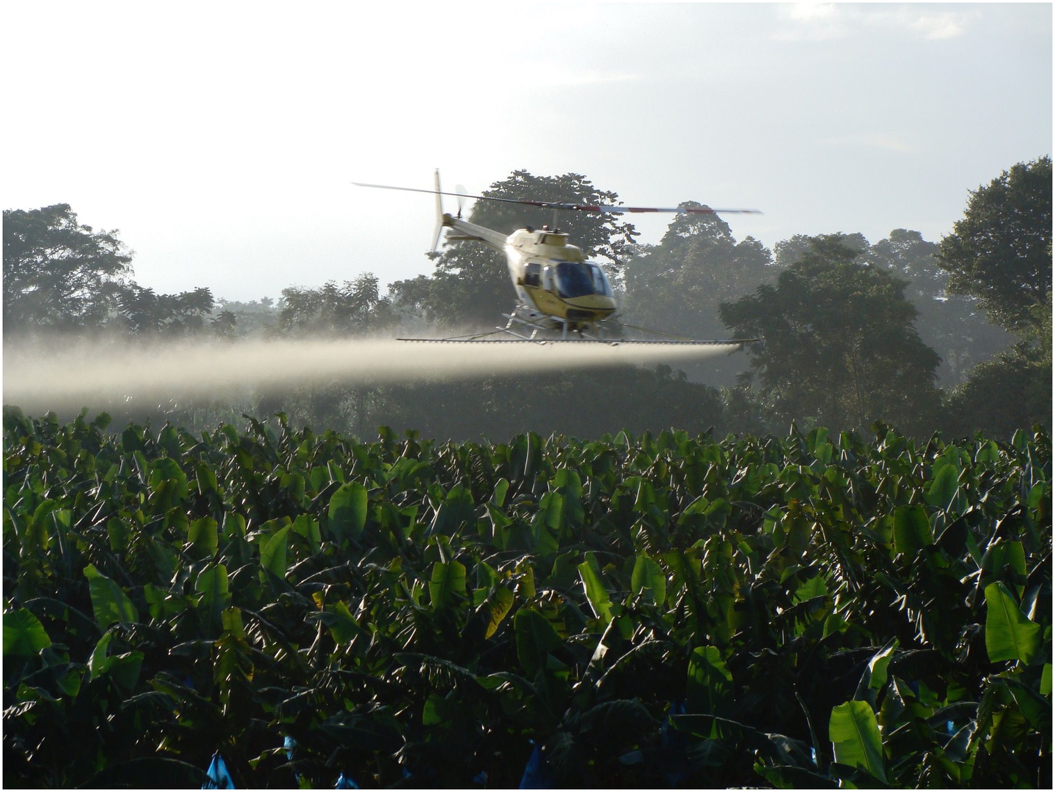 A spray helicopter completing a weekly fungicide application on a banana field affected by the Sigatoka disease complex in Costa Rica.