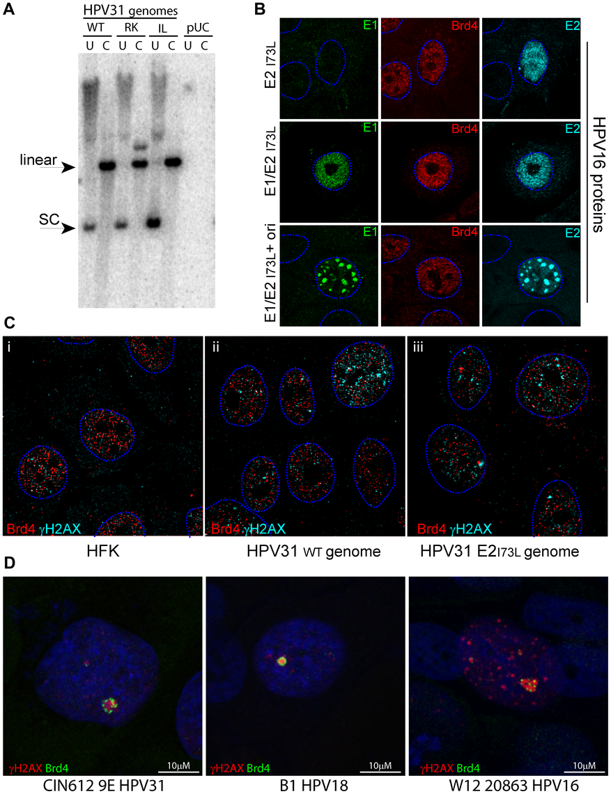 Replication and nuclear localization of HPV31 genomes containing mutations in E2 that disrupt Brd4 binding.