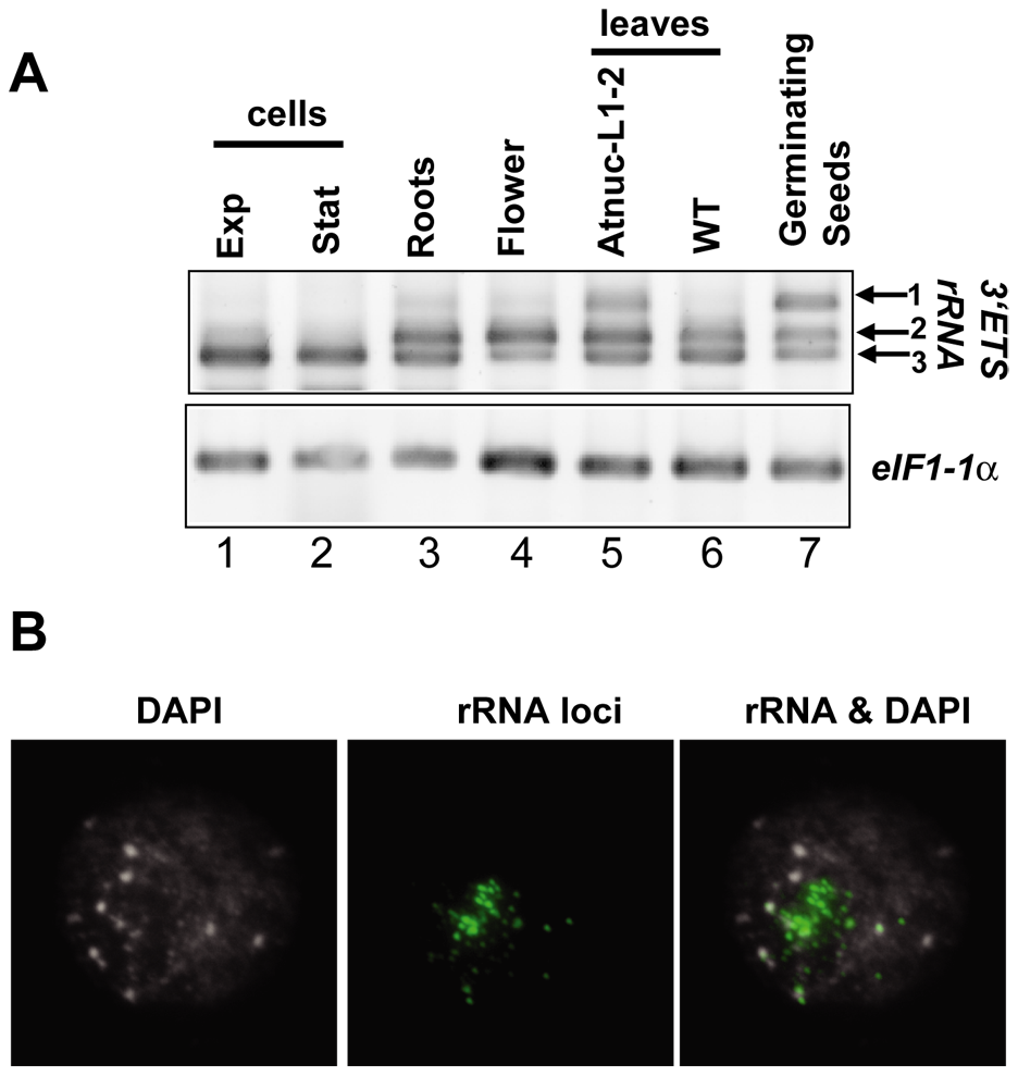 rRNA gene variants are differentially expressed in <i>A. thaliana</i> plants.