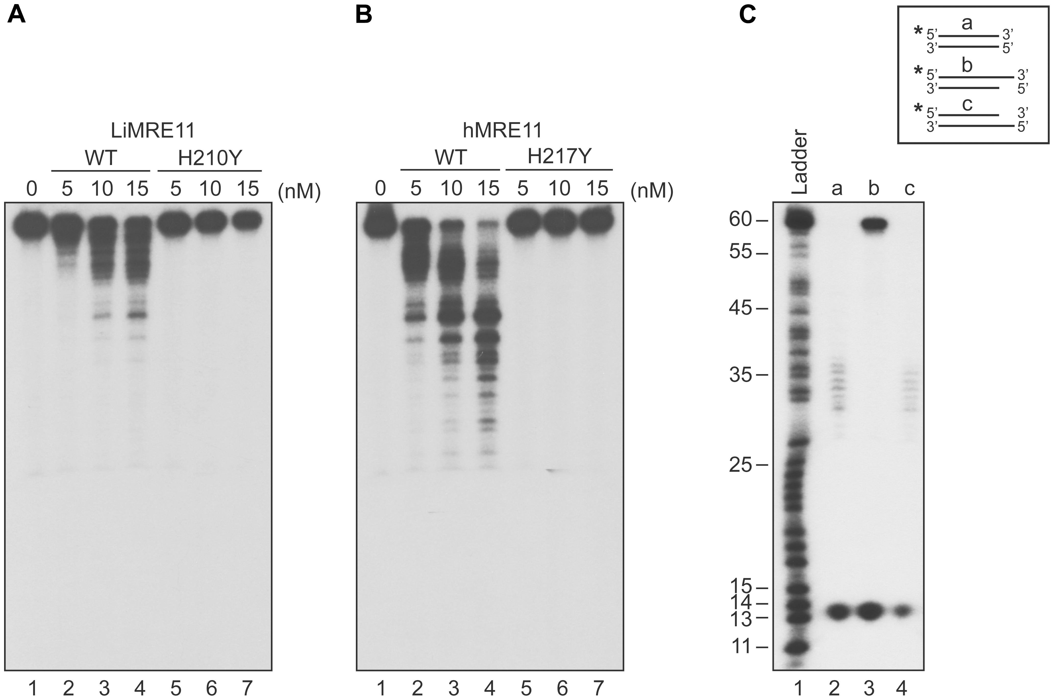 Exonuclease assays of MRE11 proteins.