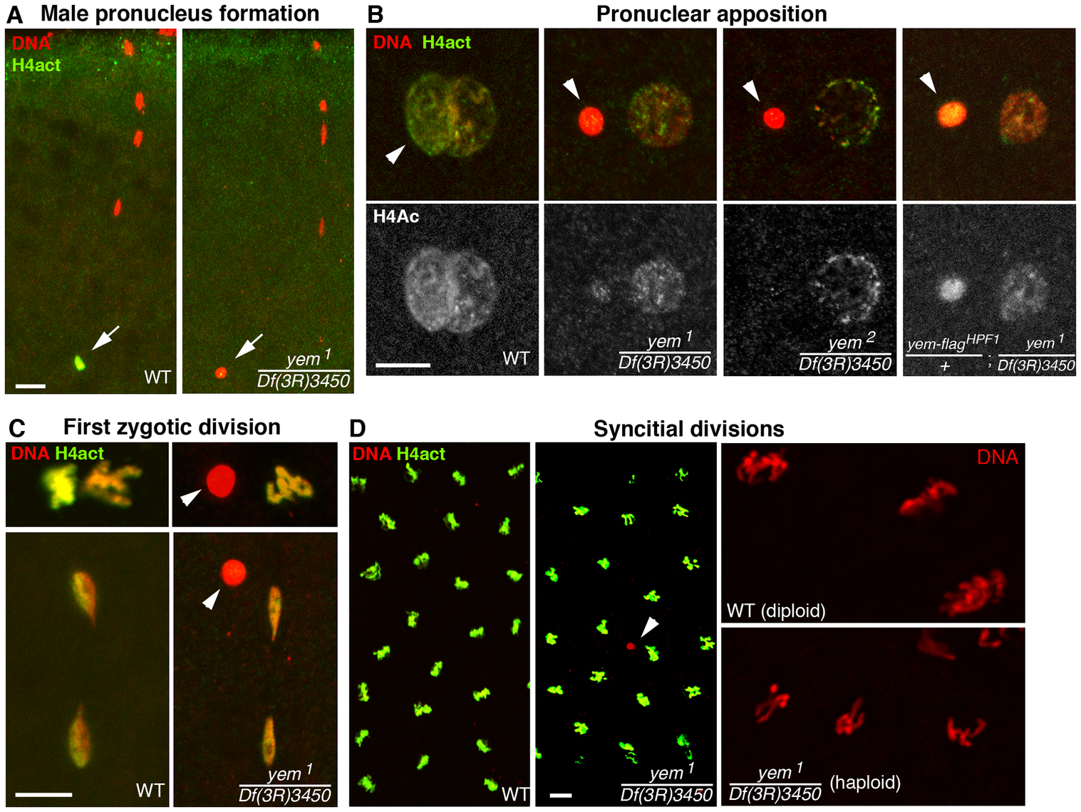 YEM is essential for chromatin assembly in the male pronucleus at fertilization.