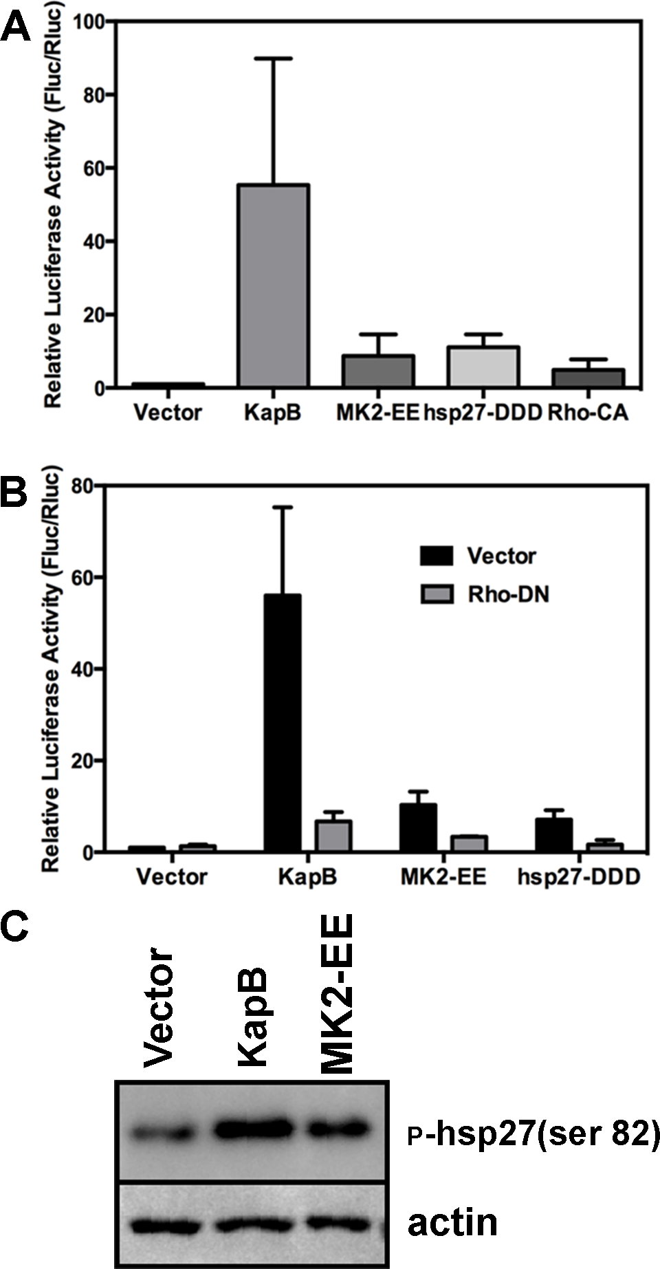 KapB-mediated activation of RhoA-GTPase is important for stabilization of ARE-containing mRNA.