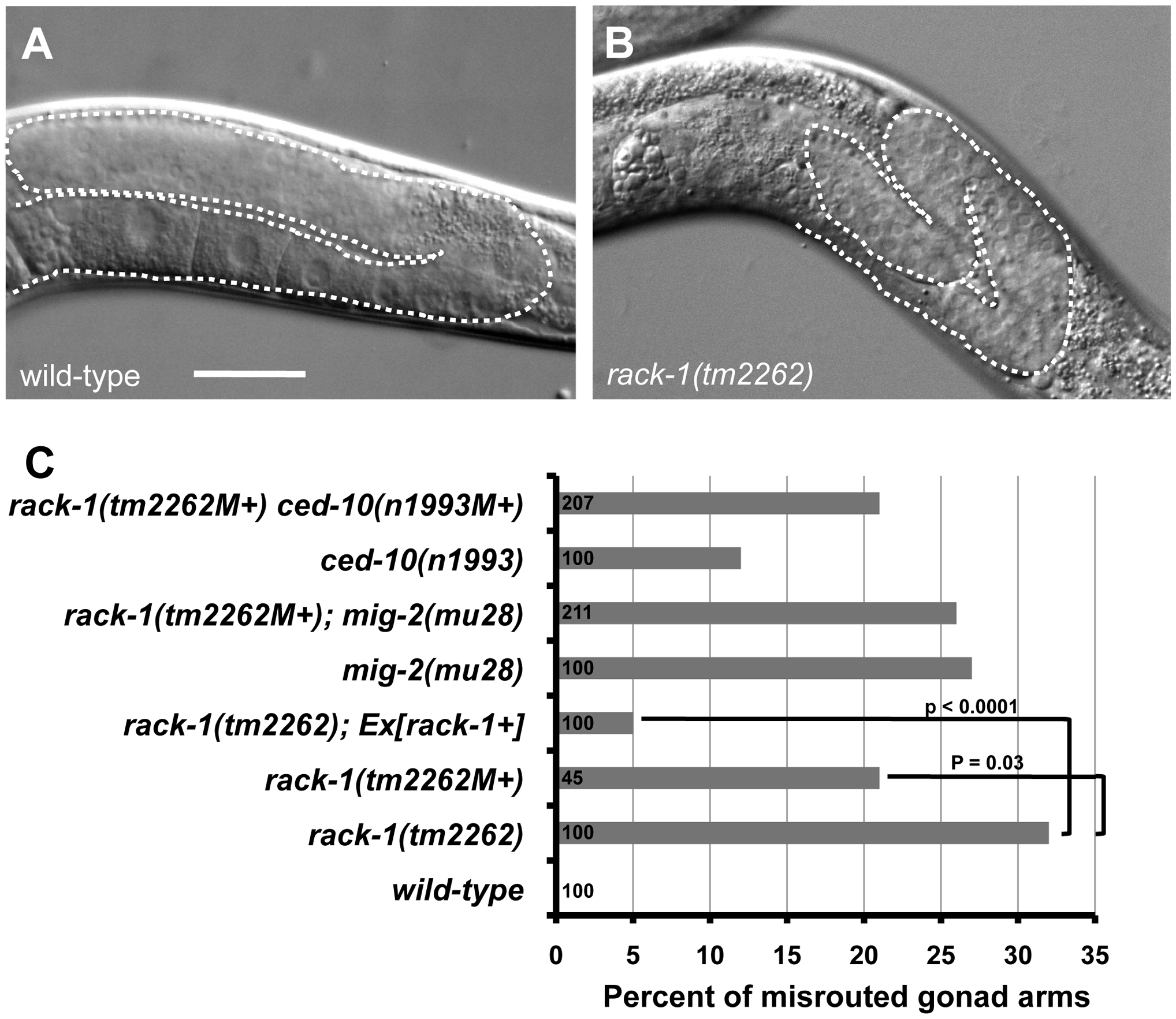 RACK-1 is required for gonadal distal tip cell migration.