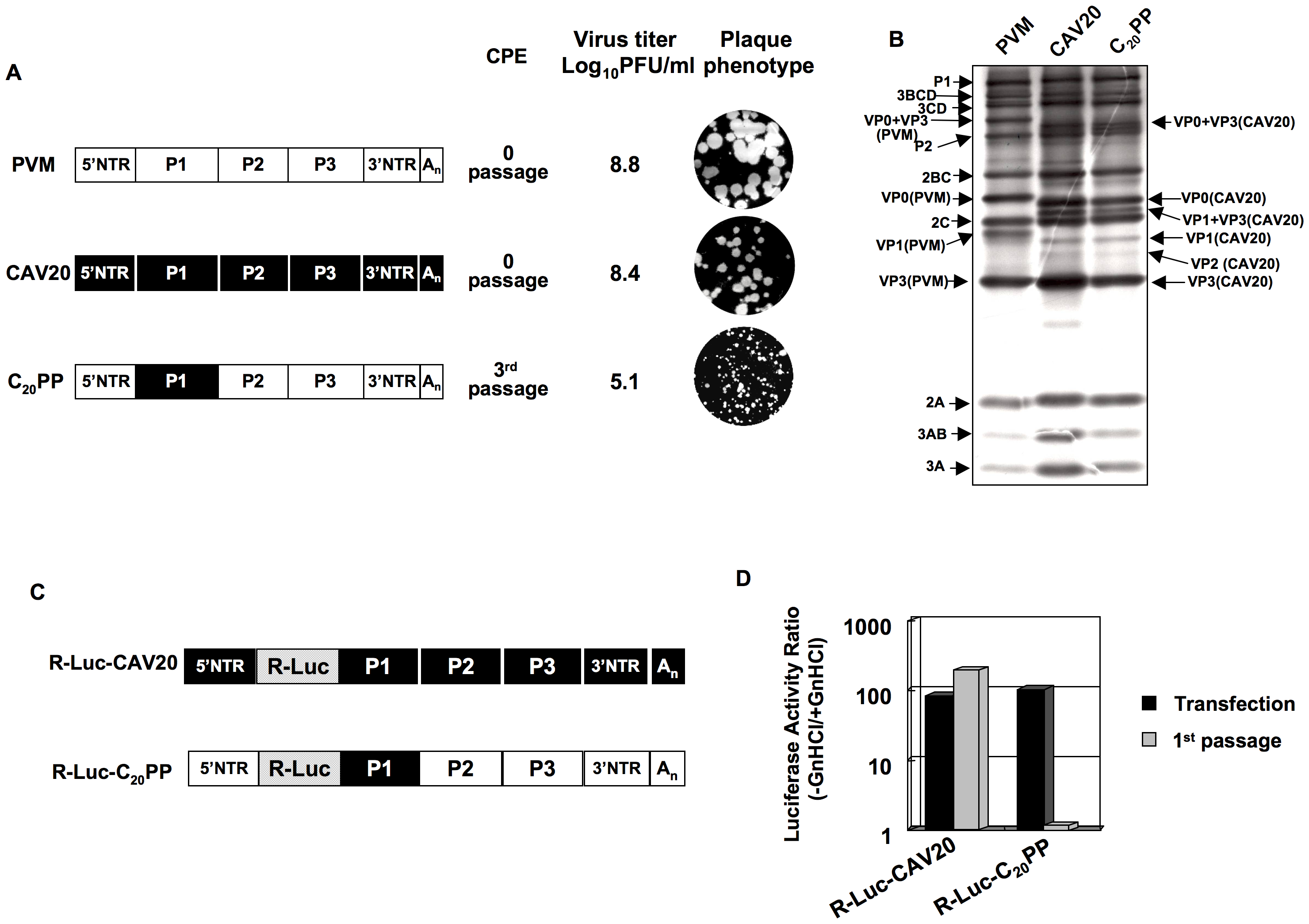 Chimeric virus C<sub>20</sub>PP containing the capsid-coding region of CAV20 is defective in encapsidation.