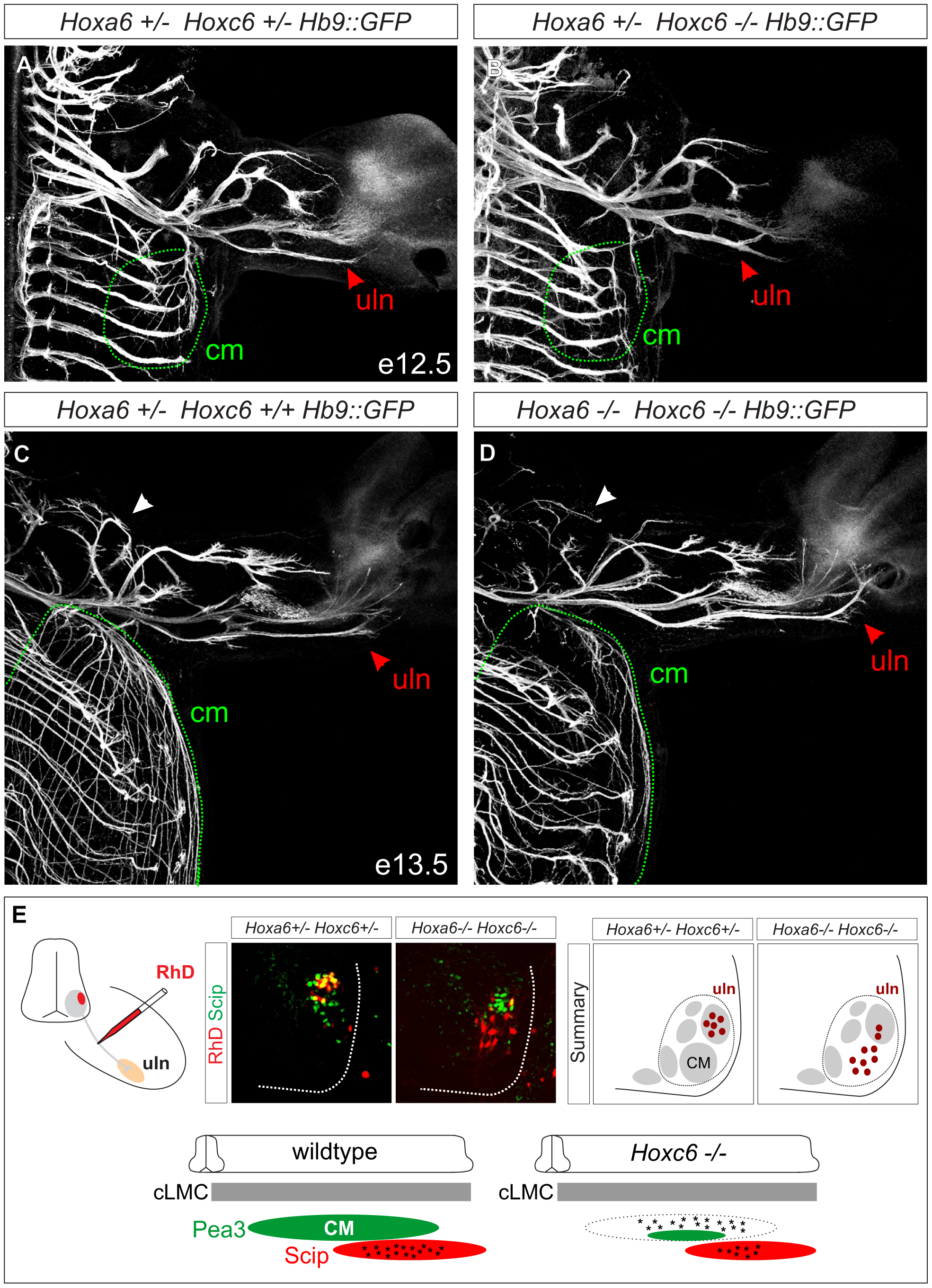 Limb innervation defects in <i>Hoxc6</i> mutants.