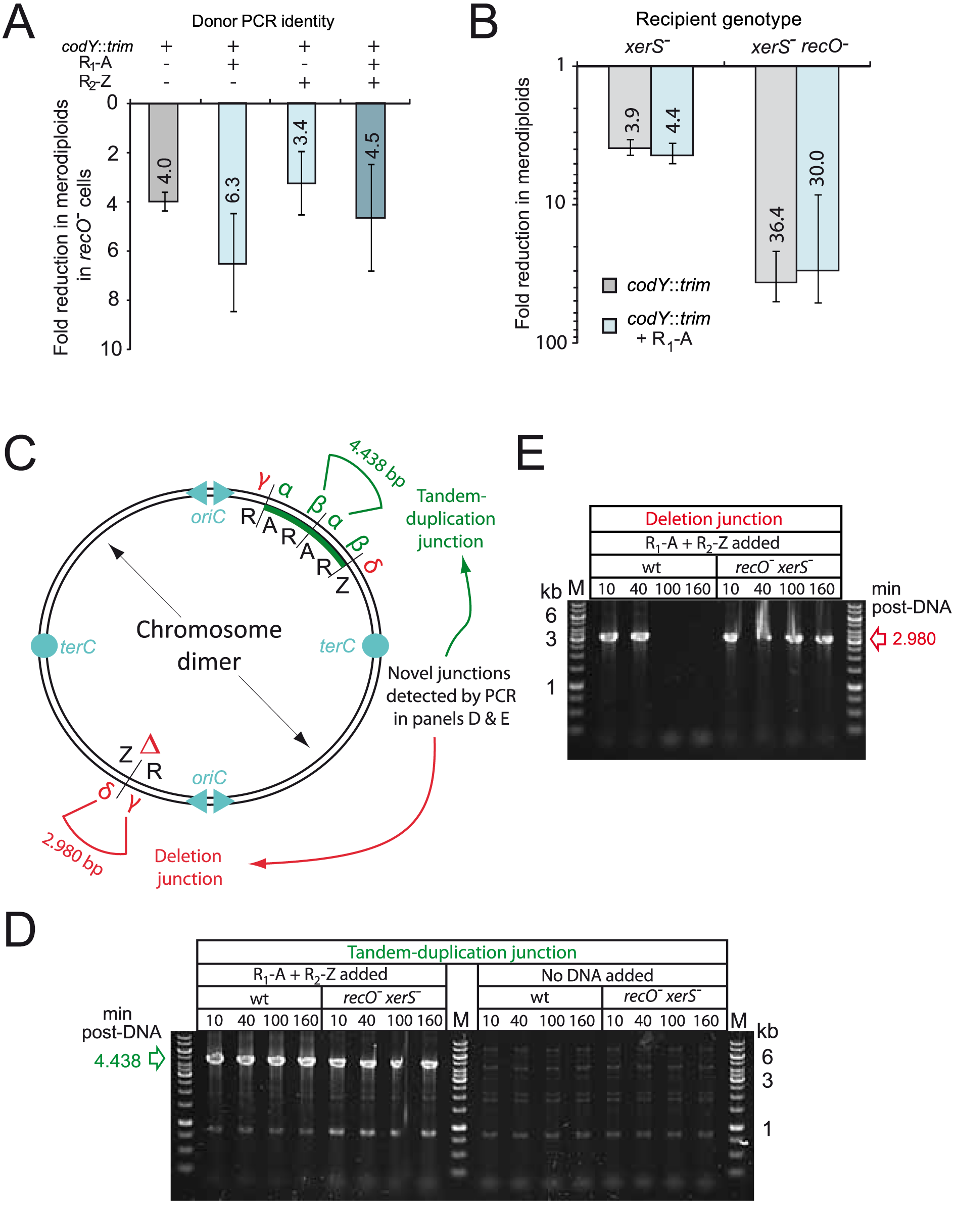 RecO and XerS are involved in pneumococcal chromosome dimer resolution.