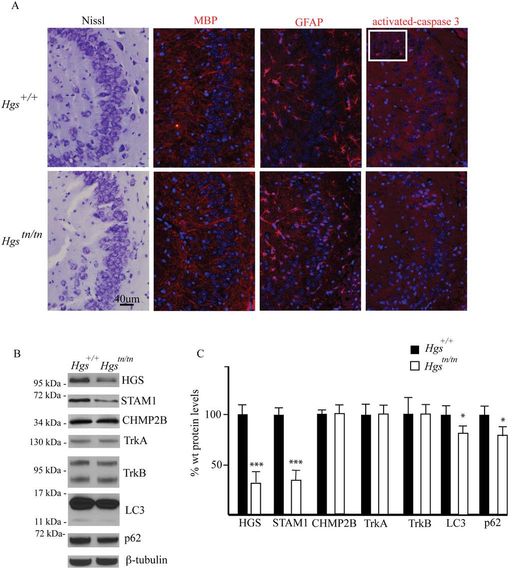 Comparison of hippocampal structure and protein expression between <i>Hgs</i><sup><i>tn/tn</i></sup> and <i>Hgs</i><sup><i>+/+</i></sup> mice.