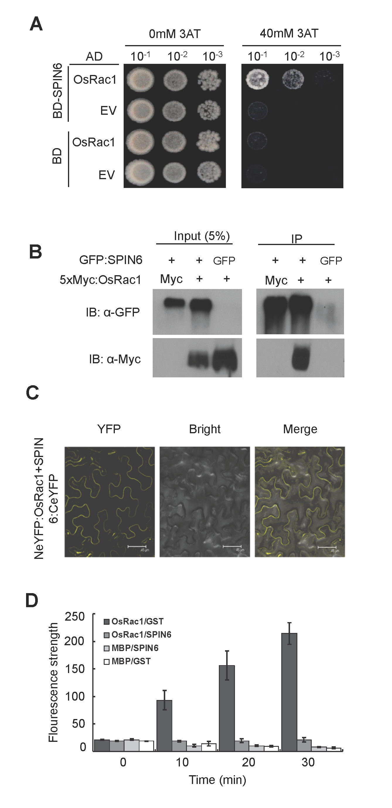 SPIN6 interacts with OsRac1 <i>in vitro</i> and <i>in vivo</i>, and catalyzes OsRac1 hydrolysis <i>in vitro</i>.