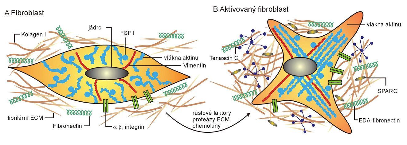 Schematické znázornění rozdílů mezi klidovým a aktivovaným fibroblastem (převzato podle Kalluri a kol., 2006)