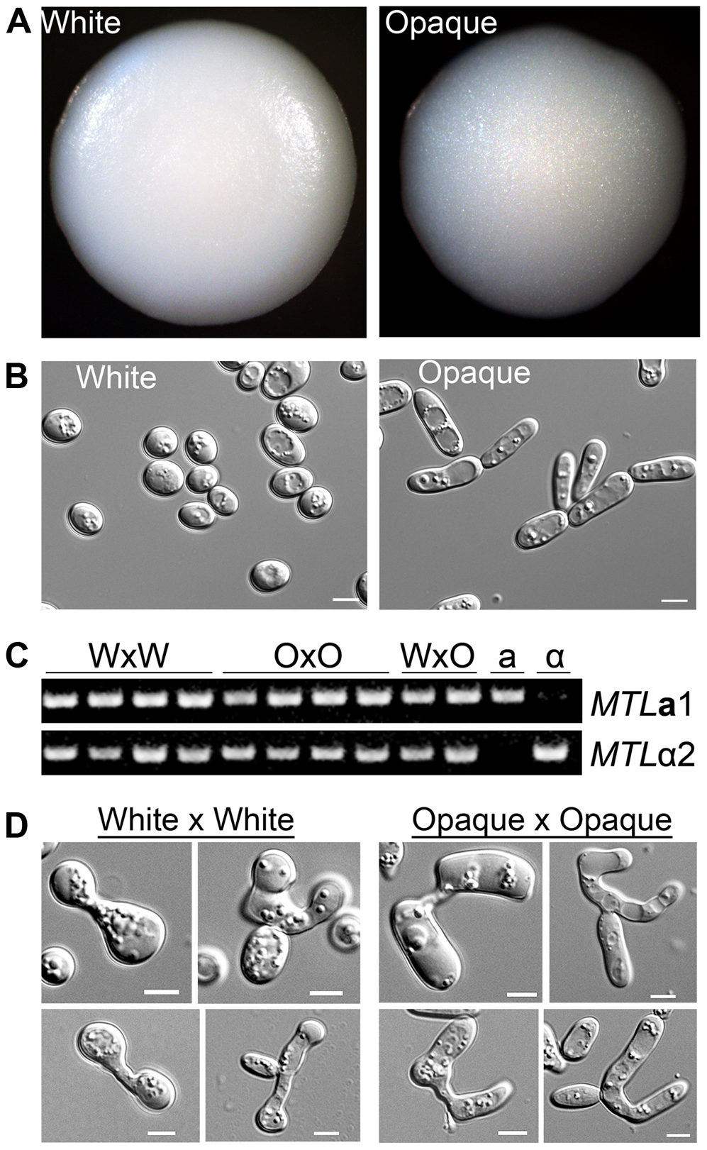 Products of <i>C. tropicalis</i> white×white and opaque×opaque mating maintain parental phenotypes.