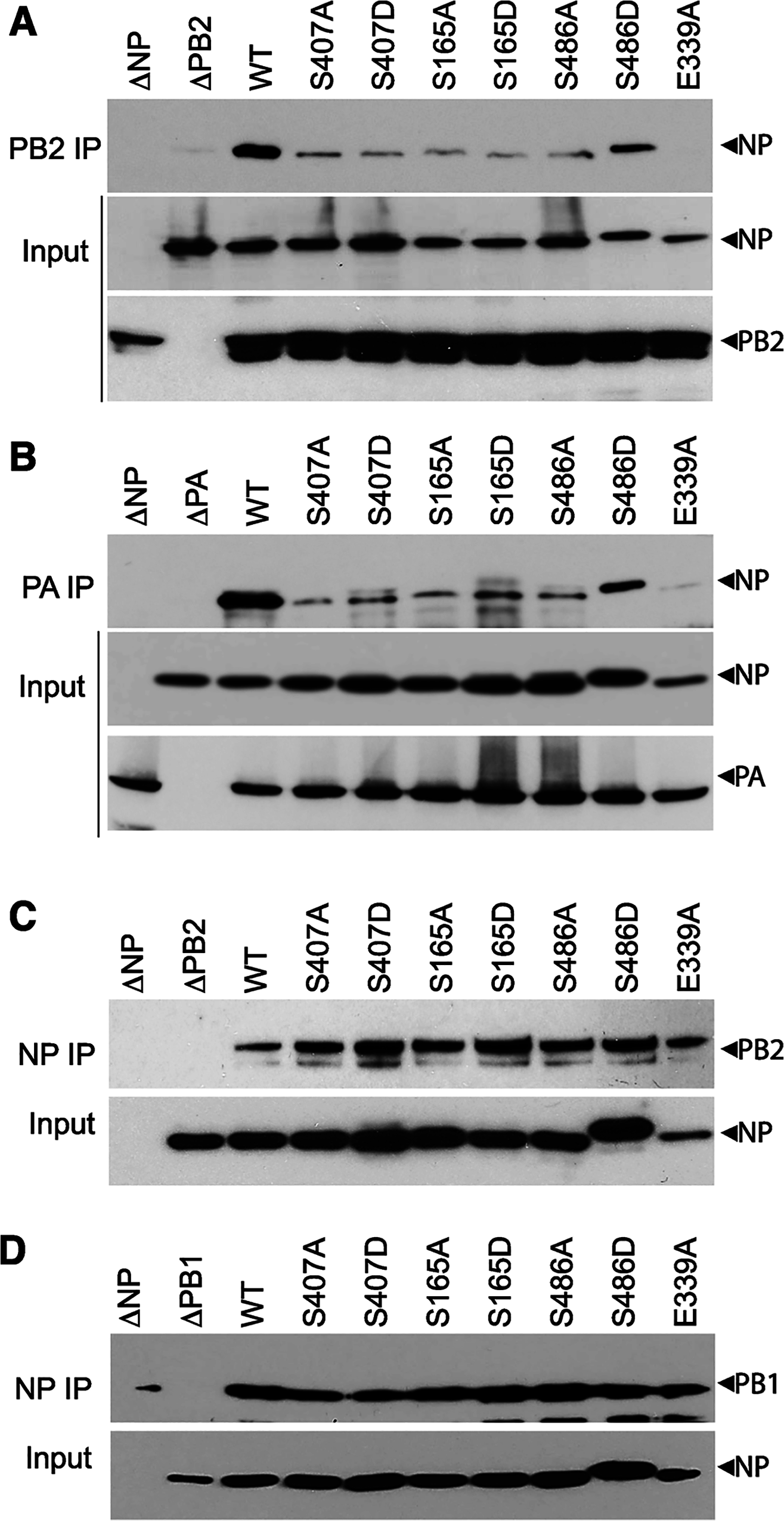 NP phospho-mutants disrupt RNP formation.