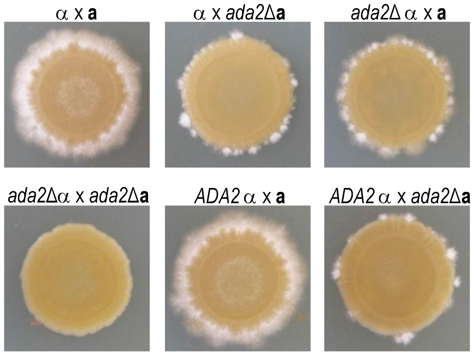 Ada2 is required for normal hyphal development.