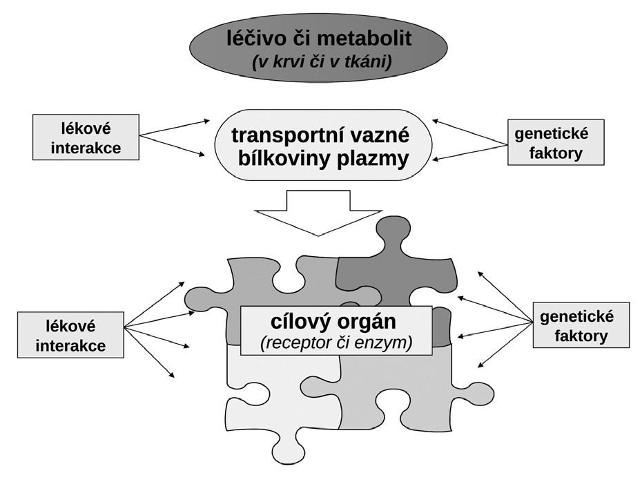 Transportní a metabolické systémy kontrolující osud léčiva v organismu (farmakokinetické vlastnosti) a jeho uplatnění na efektoru (farmakodynamický účinek) a) na úrovni enterocytu (transportní systémy ovlivňující resorpci/eliminaci a metabolické systémy ve střevě) b) na úrovni hepatocytu (transportní systémy ovlivňující resorpci/eliminaci a metabolické systémy v játrech) c) na úrovni epitelie renálního tubulu (transportní systémy ovlivňující resorpci/eliminaci a metabolické systémy v nefronu) d) na úrovni transportu v plazmě vazbou na plazmatické bílkoviny a účinek na úrovni efektoru (cílového orgánu) OCT – organic cation transporter, ENT – equilibrative nucleoside transporter, OATP – organic anion transporting polypeptide, MDRP – multiple drug resistance protein, BCRP – breast cancer resistance protein, P-gp – glykoprotein P