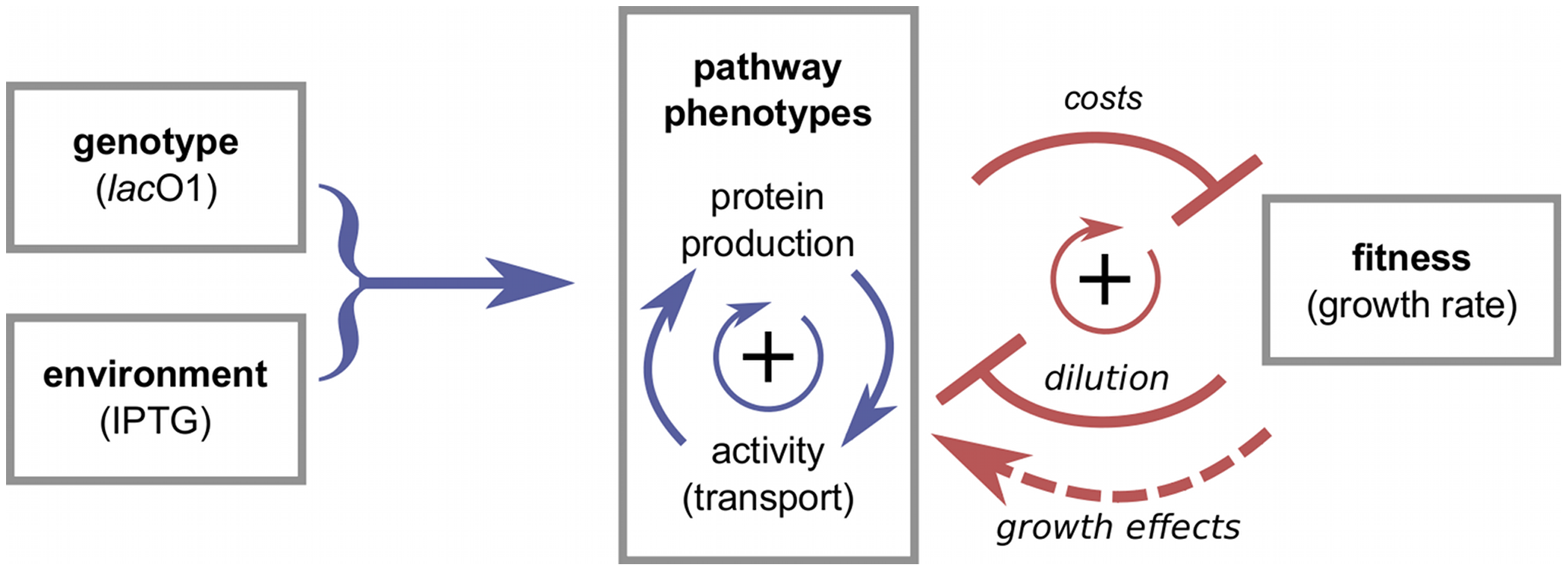 From genotype and environment to pathway phenotypes and fitness.