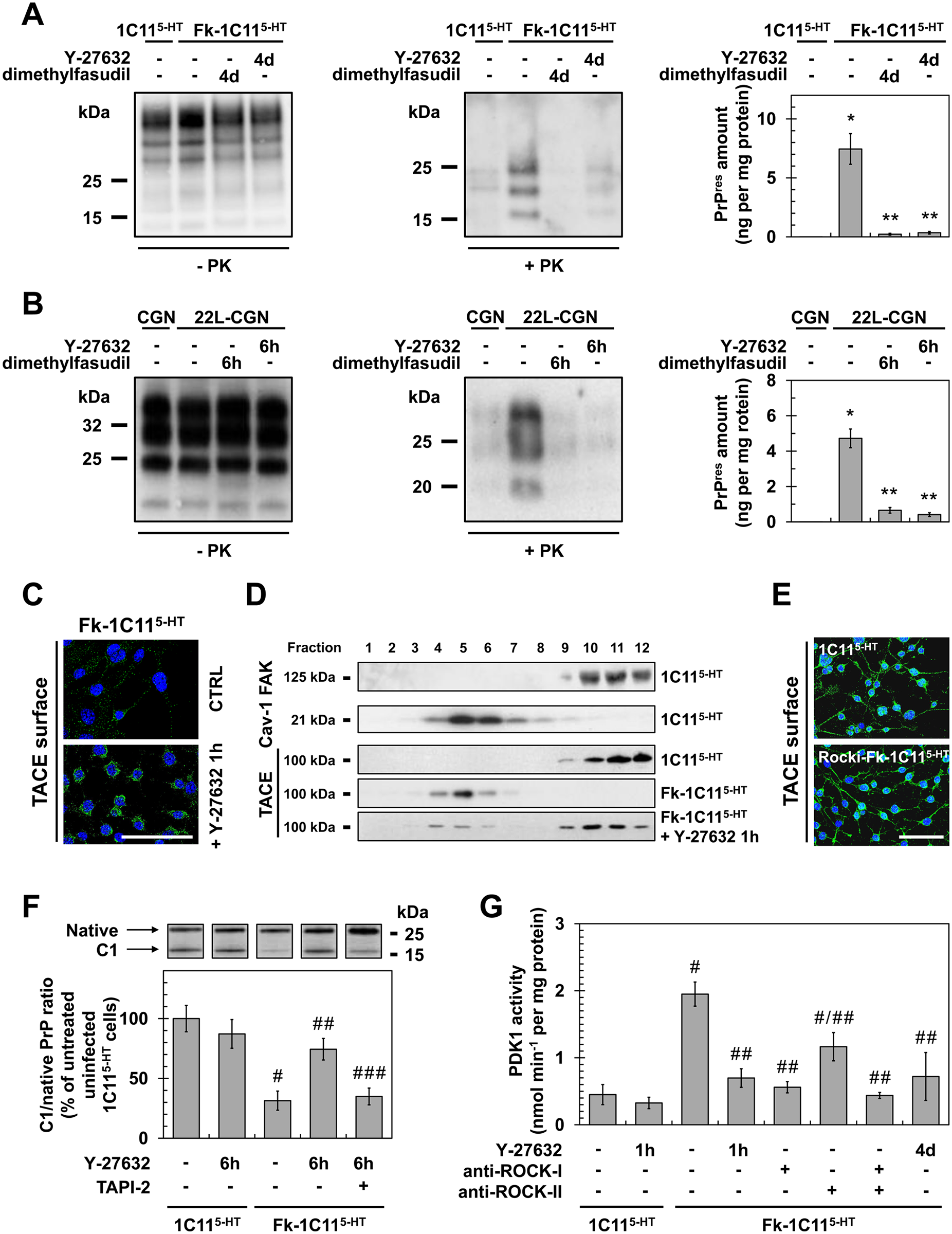 ROCK inhibition lowers PrP<sup>Sc</sup> level by rescuing TACE α-secretase neuroprotective activity towards PrP<sup>C</sup> in a PDK1-dependent manner.