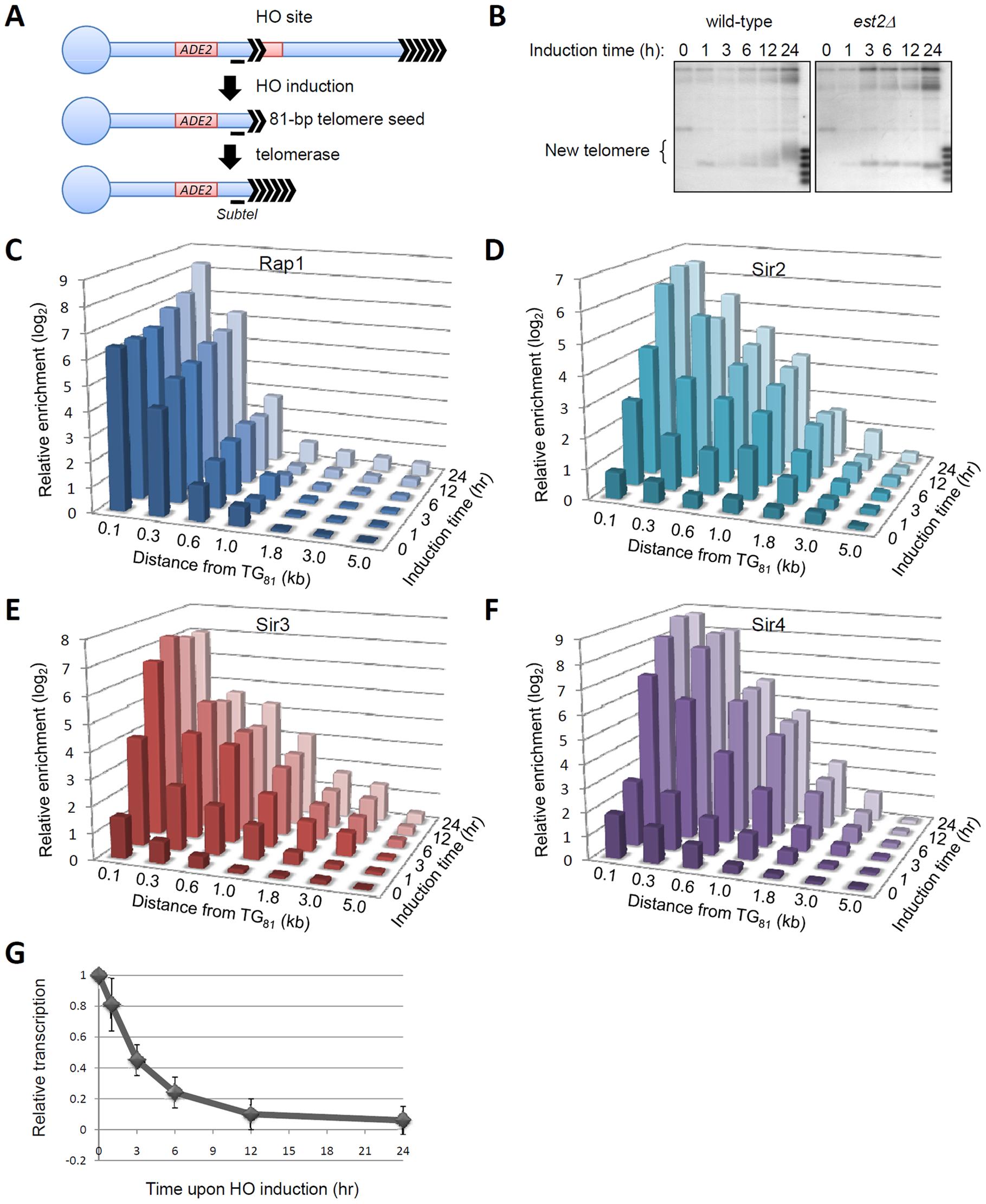 <i>De novo</i> telomeric heterochromatin assembly on a short telomere.