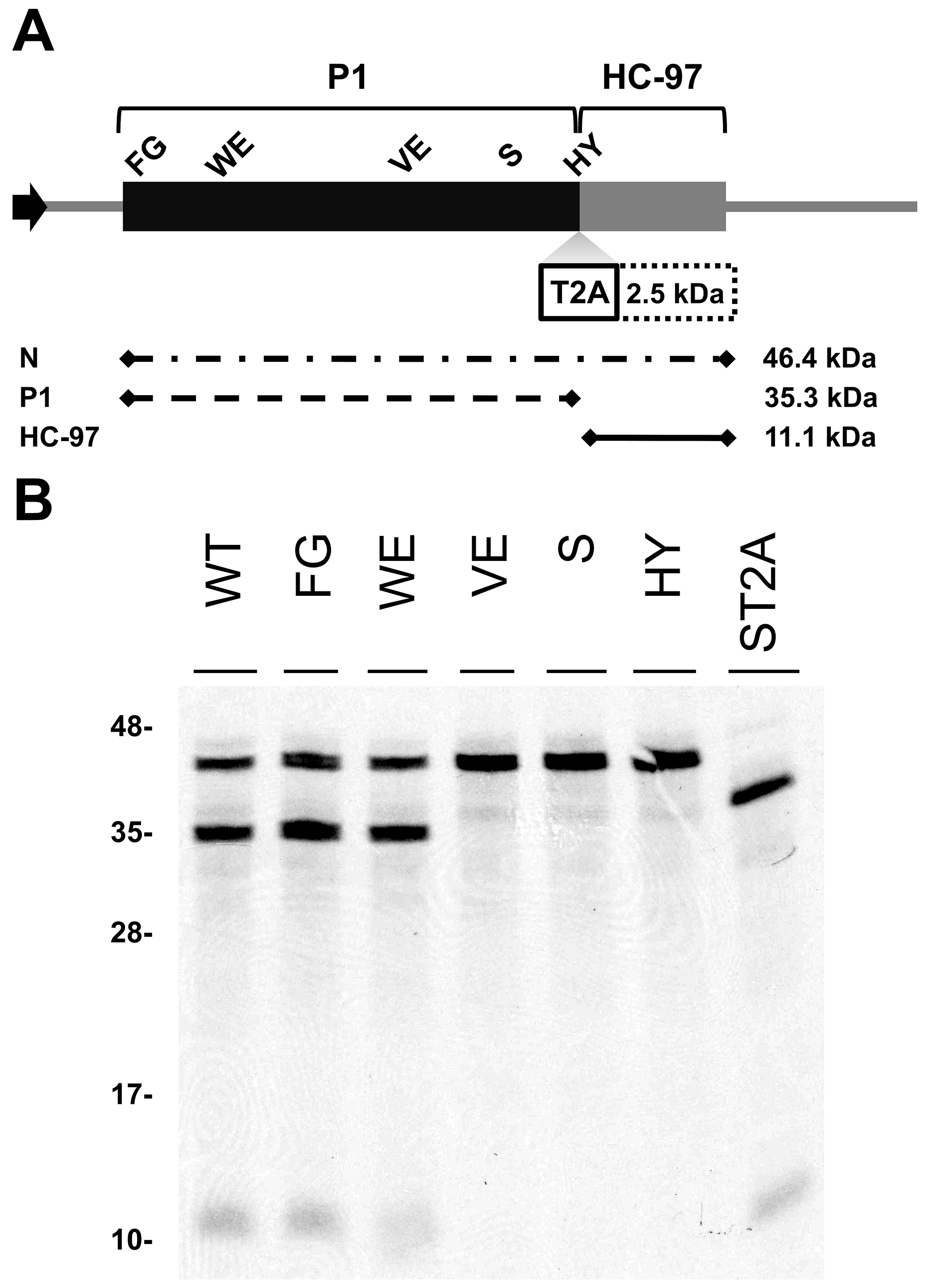 Involvement of P1 conserved motifs in protease cleavage.