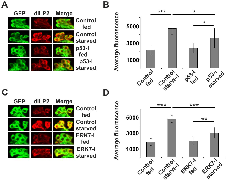 p53 and ERK7 regulate dILP2 secretion upon starvation.