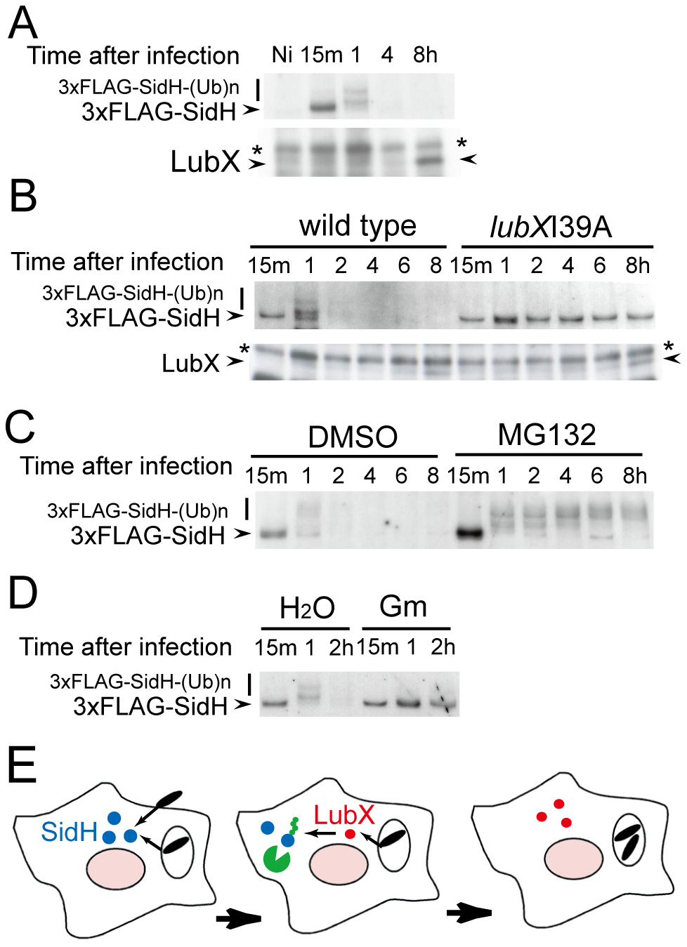 Temporal regulation of SidH is mediated by ubiquitin ligase LubX and host proteasome.