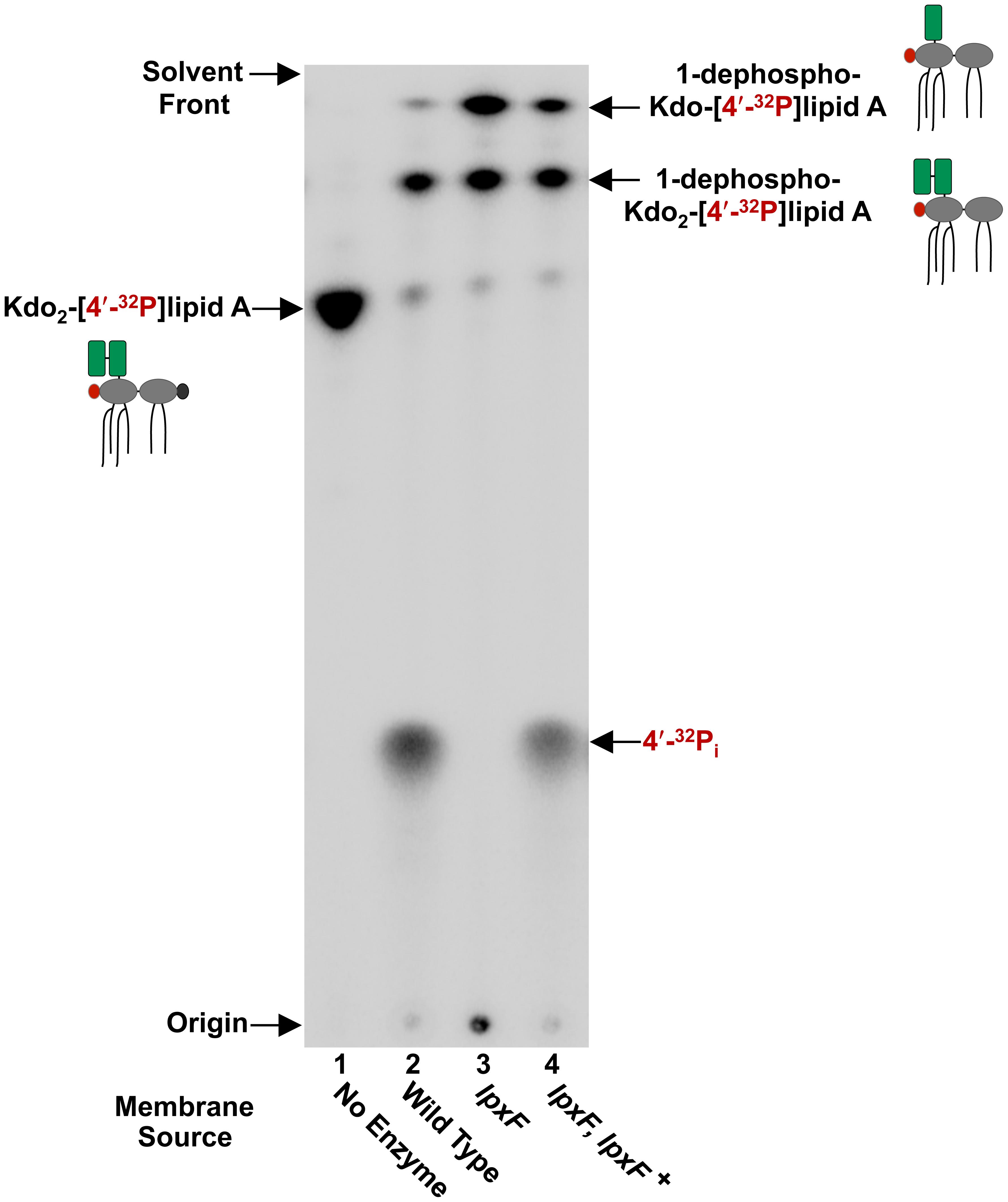 <i>In vitro</i> assay of the <i>H. pylori</i> lipid A 4′-phosphatase, LpxF.