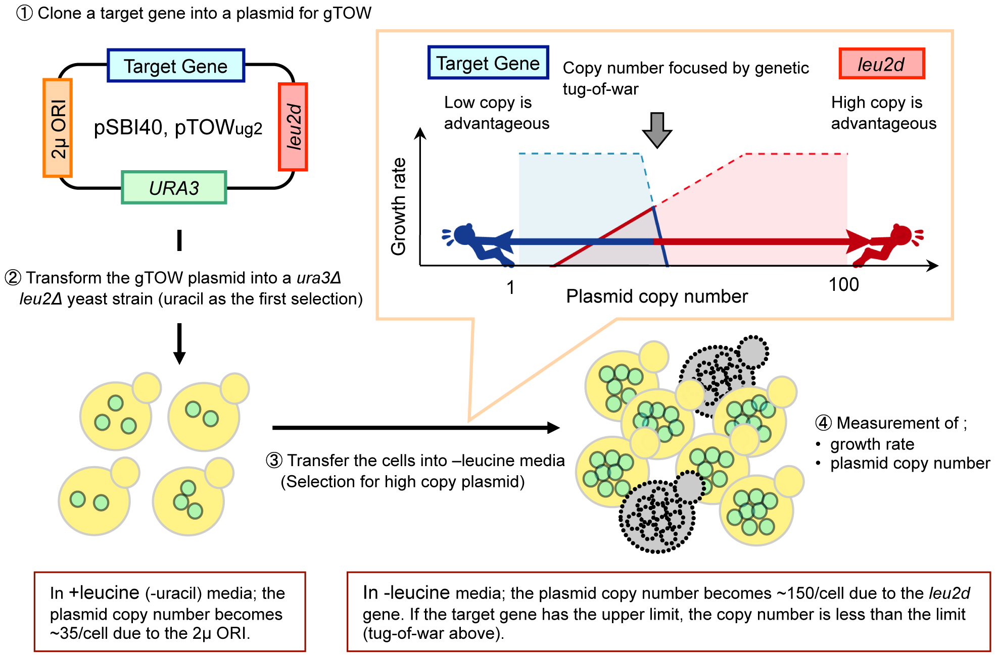Schematic representation of the genetic tug-of-war (gTOW) experiment.