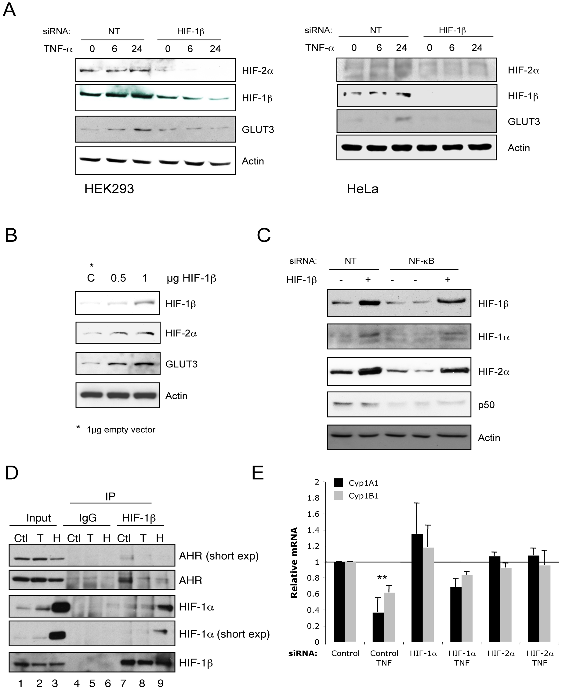 HIF-1β is required for TNF-α–induced HIF-2α, which represses AHR function.