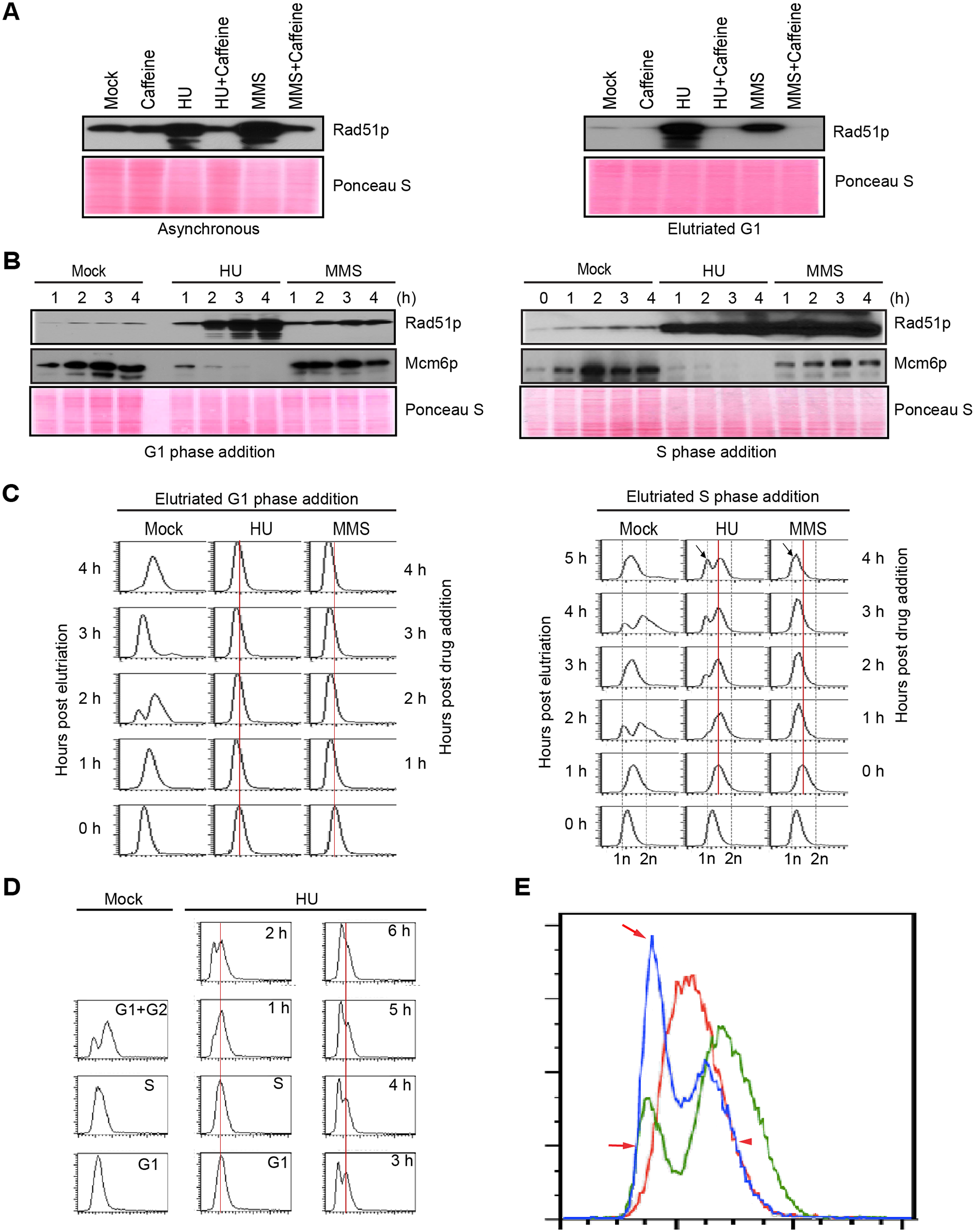 Characterization of HU and MMS induced checkpoint responses.