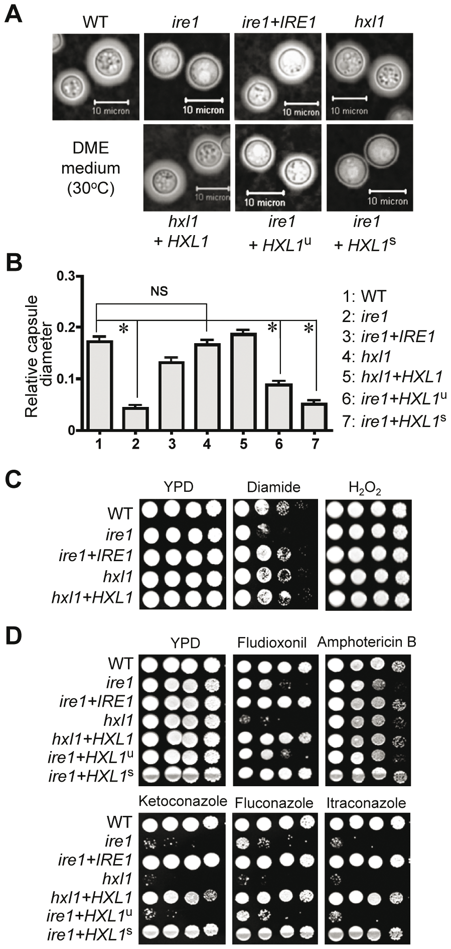 Ire1 controls capsule formation, oxidative stress responses, and antifungal drugs resistance in Hxl1 dependent- and independent manners in <i>C. neformasn</i>.