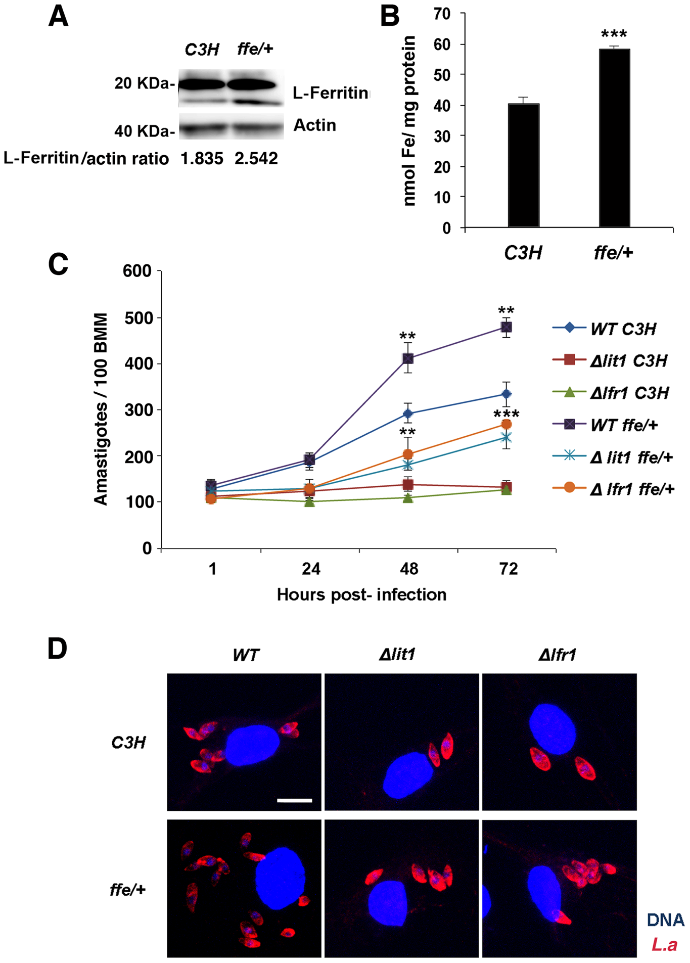 Macrophages from flatiron mice, a model for hereditary hemochromatosis type IV, are more susceptible to infection by <i>L. amazonensis</i>.