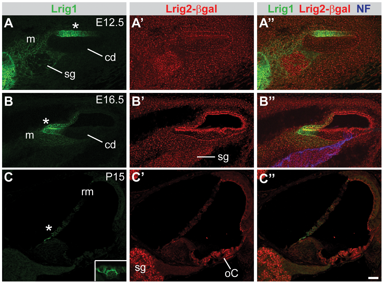 Lrig1 and Lrig2-βgeo are co-expressed in the non-sensory region of the cochlea.