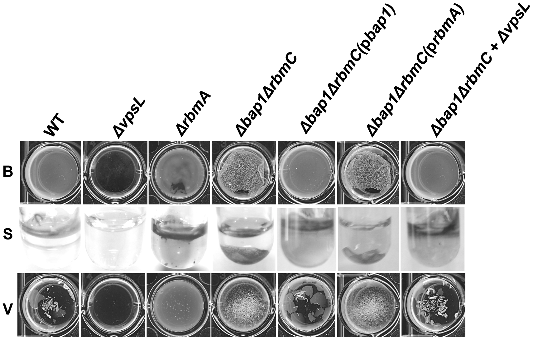 The Δ<i>bap1</i>Δ<i>rbmC</i> mutant biofilm is loosely adherent to the substratum.