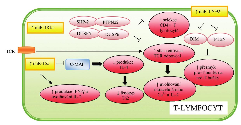 Role miRNA v regulaci hematopoézy a imunitní odpovědi T-lymfocytů