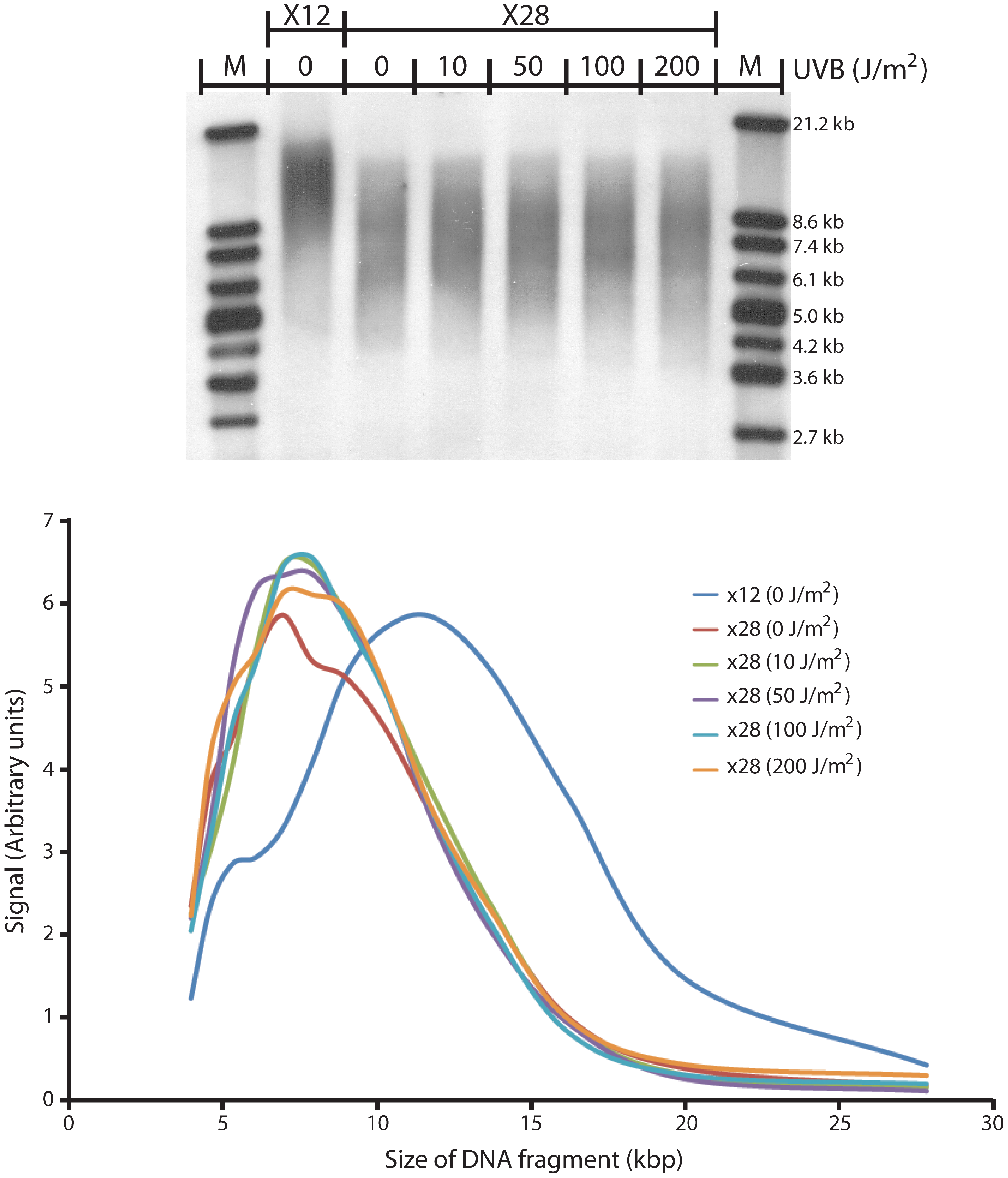 UV does not induce telomere shortening in replicating cells.